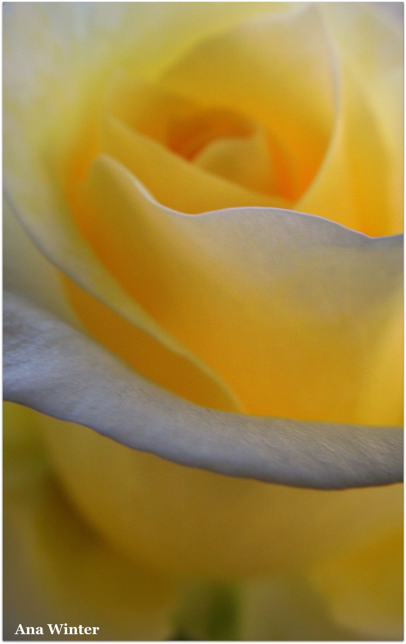 Yellow Rose by Ana Winter