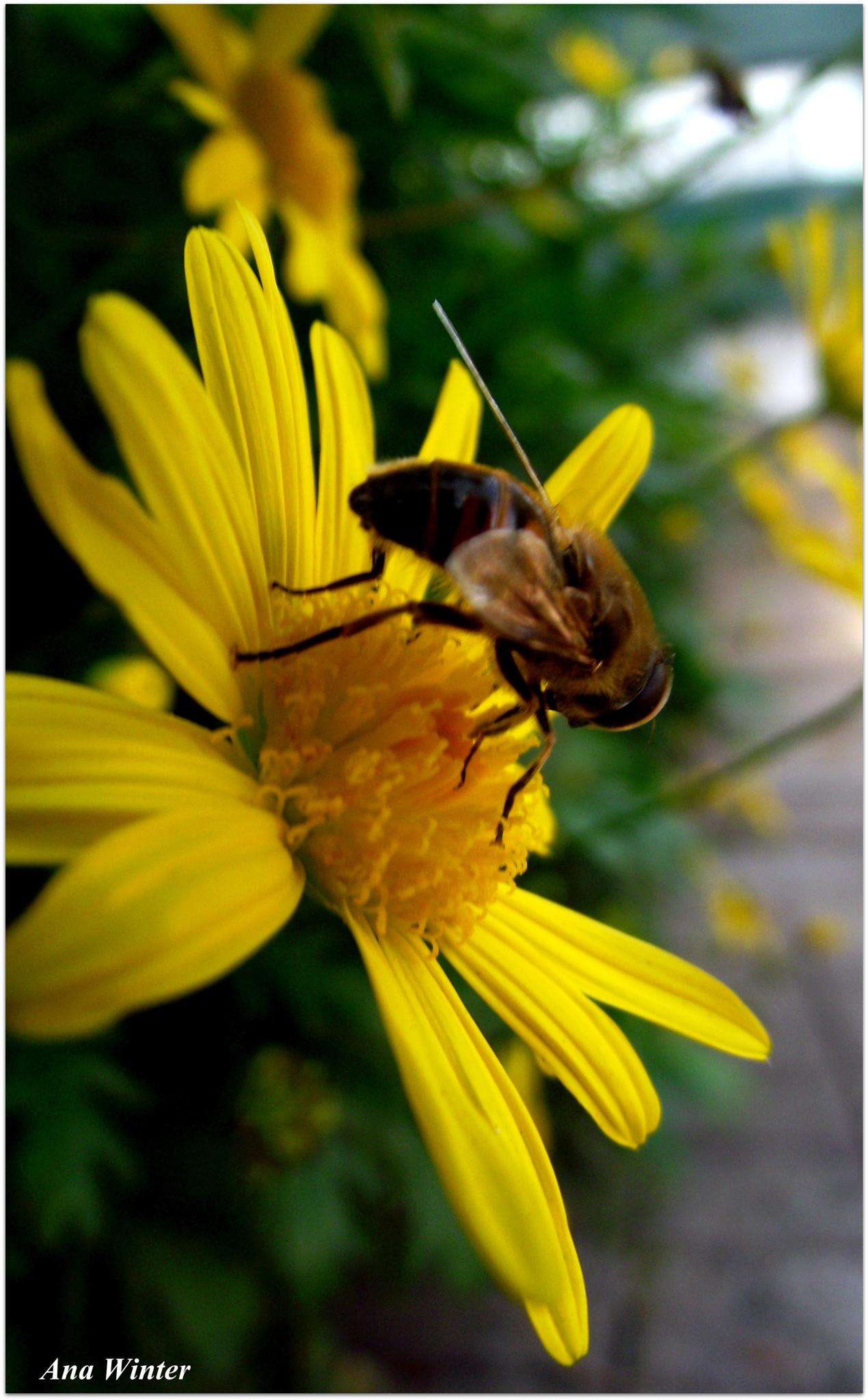 The busy Bee by Ana Winter