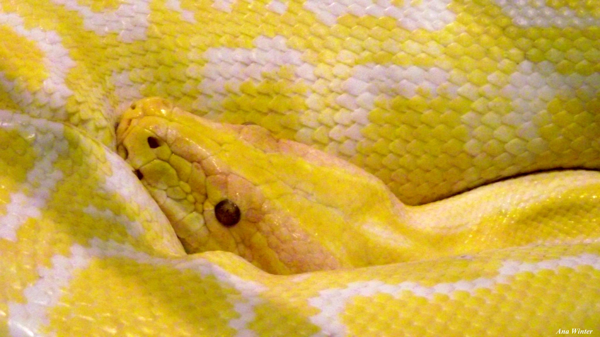 Burmese Python by Ana Winter