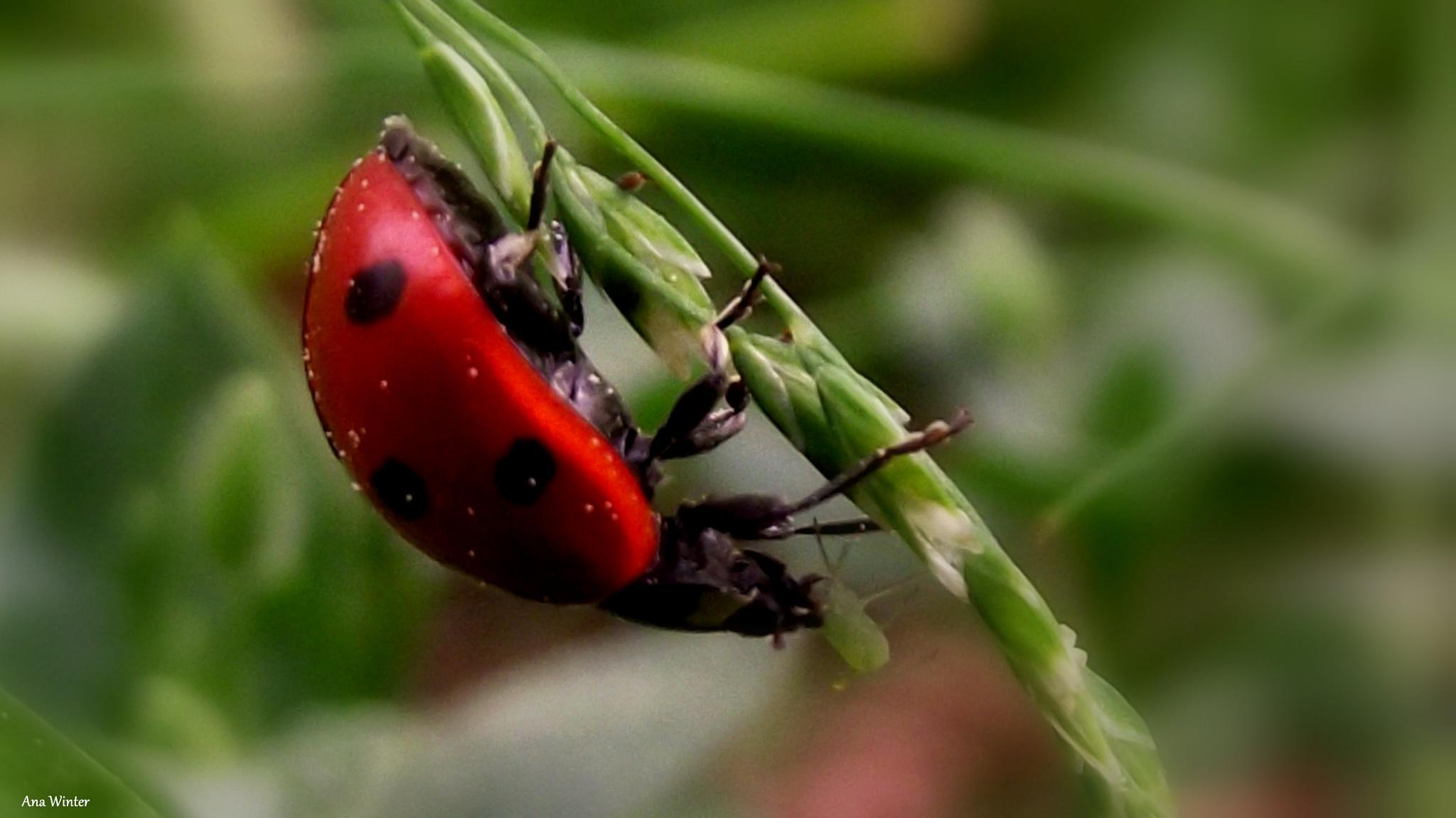 LadyBug having lunch by Ana Winter