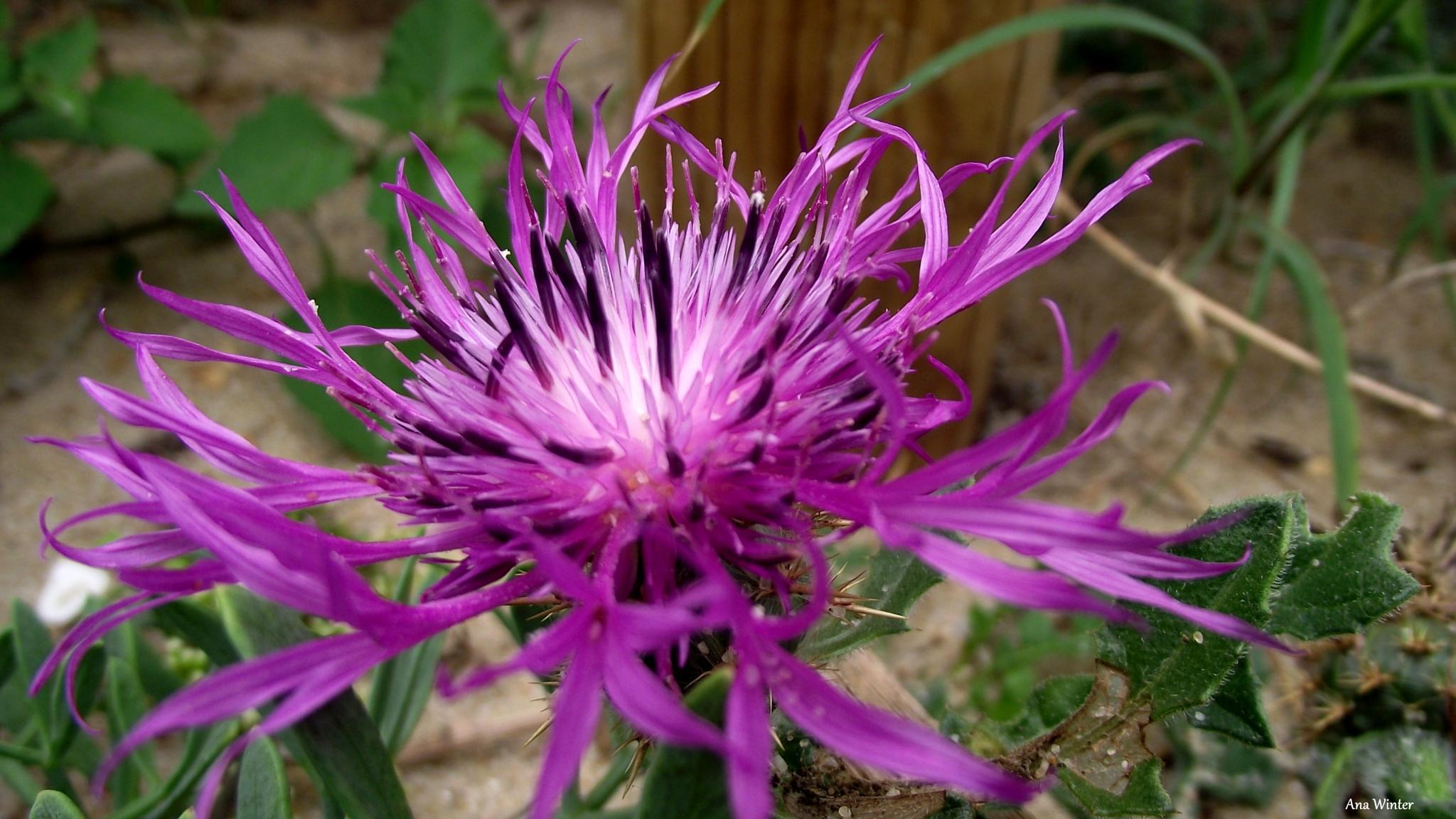 Interesting flower by Ana Winter