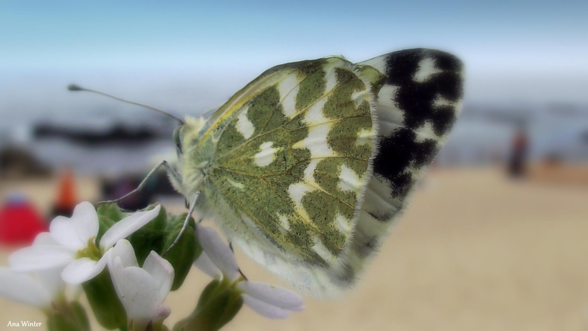 Little Mariposa at the beach by Ana Winter
