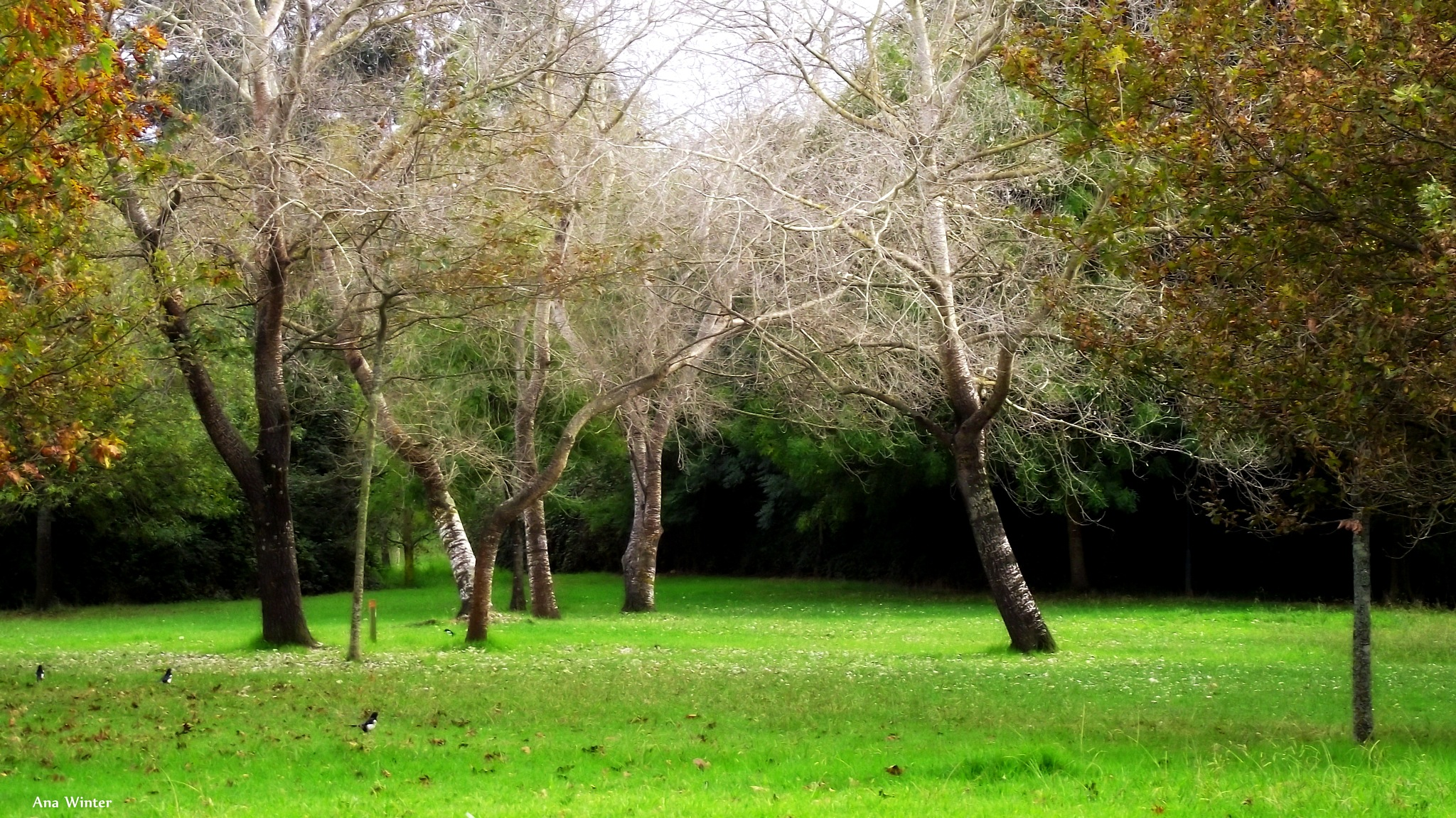 Magic trees and the three Magpies by Ana Winter