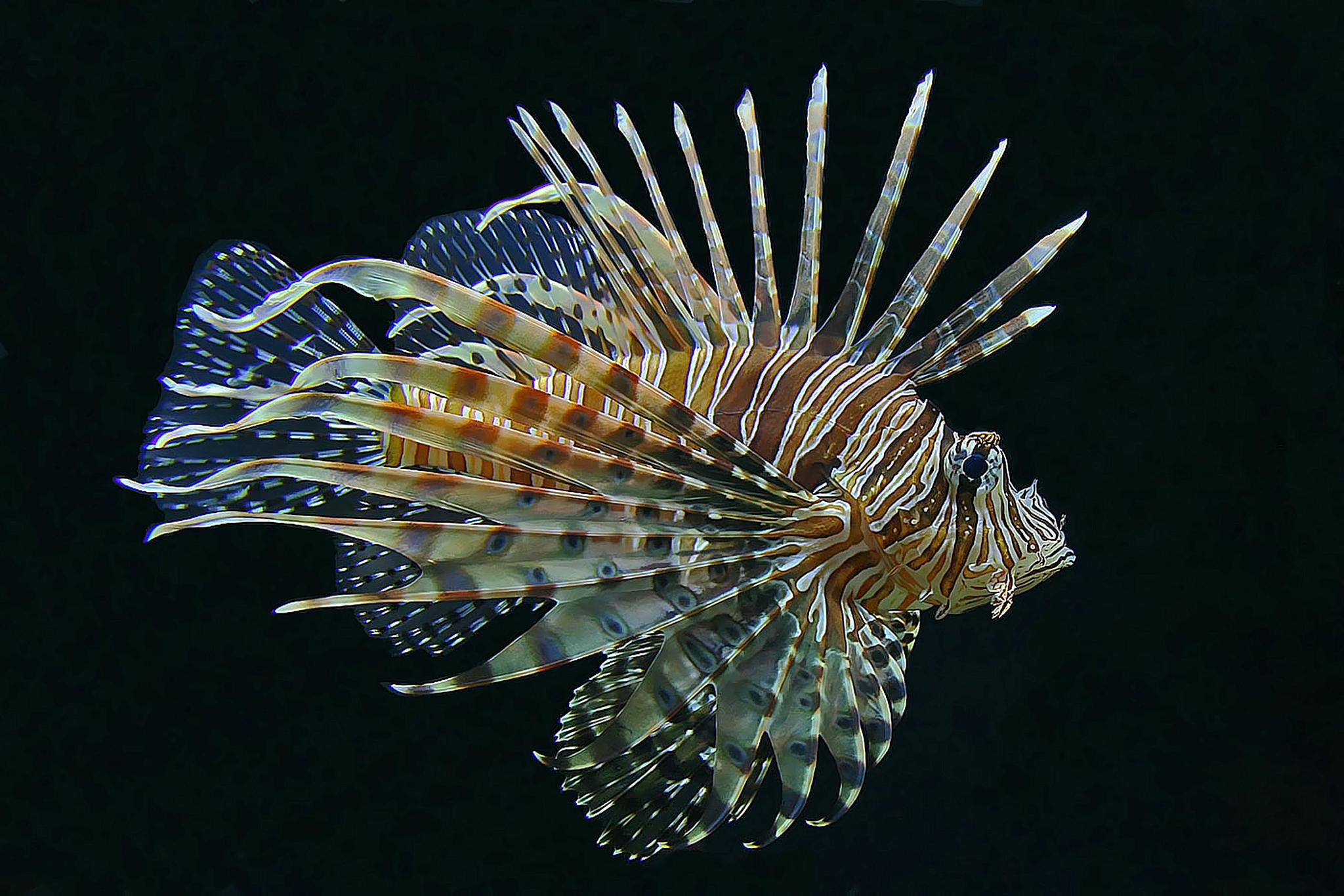 Red Lionfish by Raymond Pauly