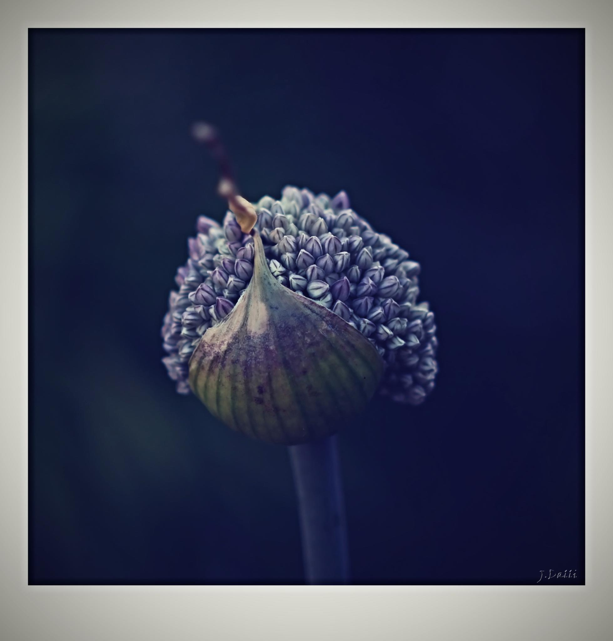"""fleur de l'oignon""  by YnnaDalli"