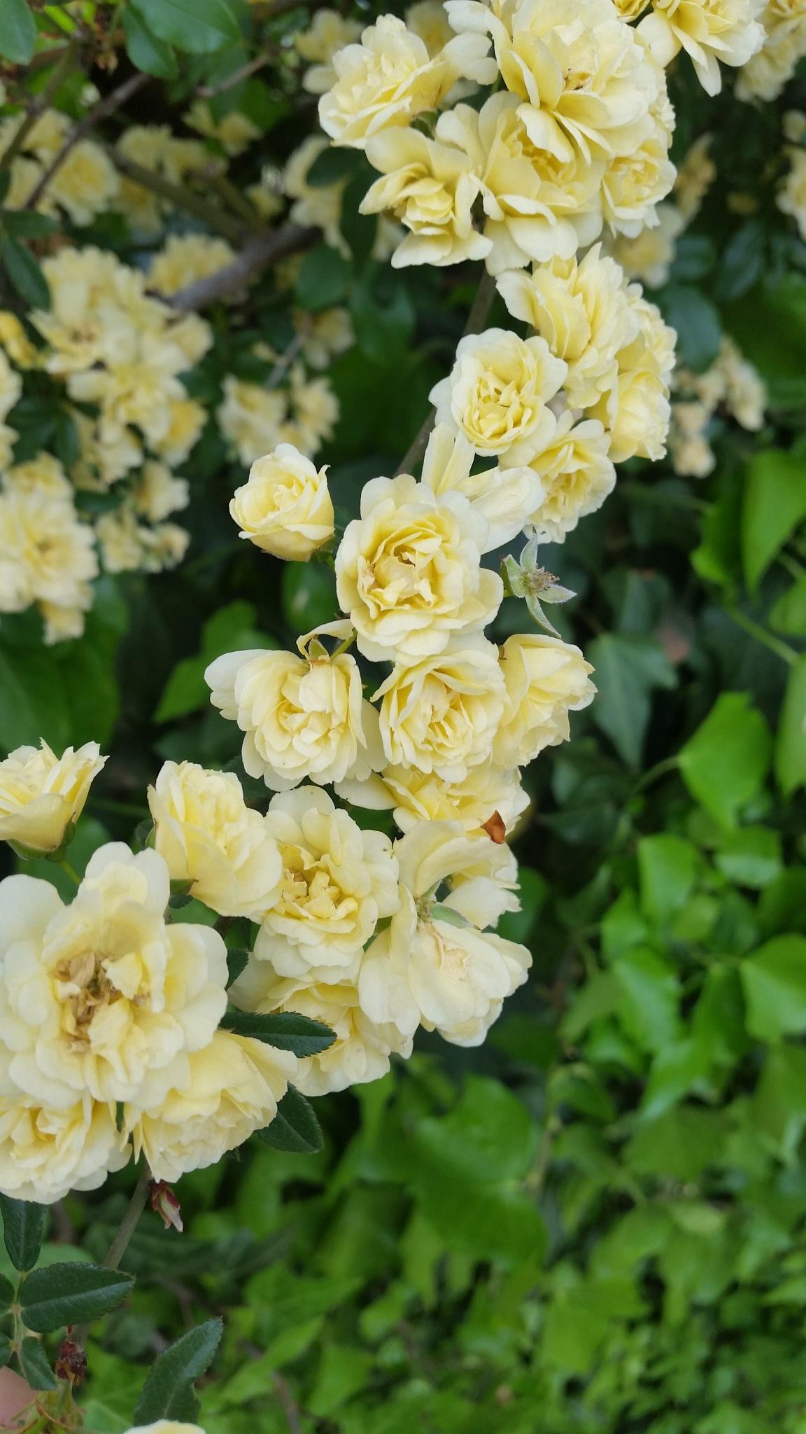 Banskia Rose by Leica Ross