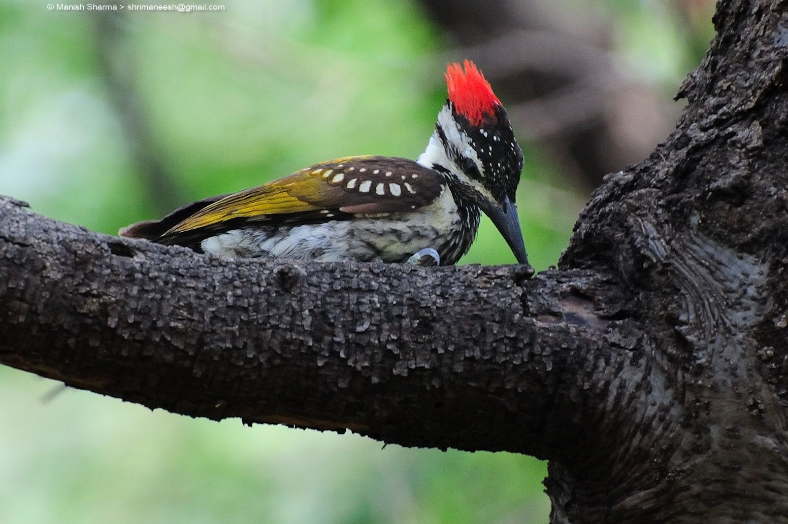 Black-rumped flameback, or Lesser golden-backed woodpecker,...Scientific name: Dinopium benghalense by Maneesh Sharma