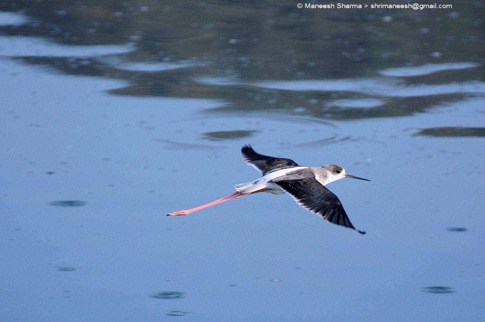Black winged stilt....Scientific name: Himantopus himantopus by Maneesh Sharma