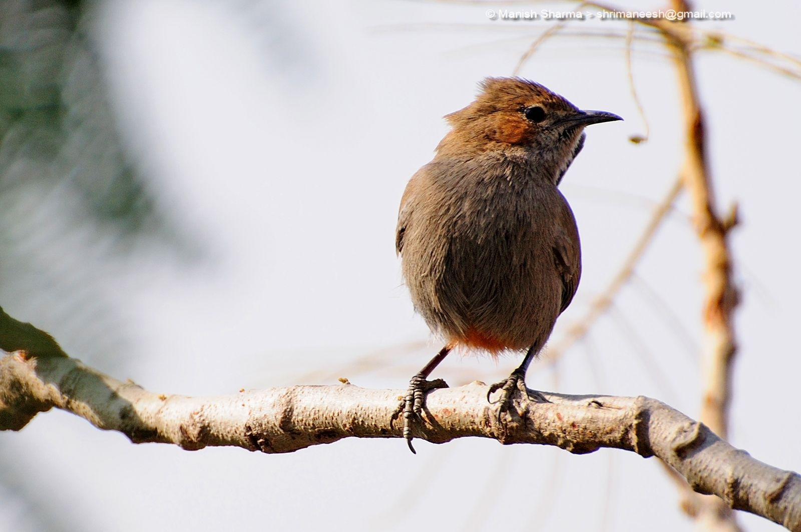 Indian Robin ....Scientific name: Saxicoloides fulicatus by Maneesh Sharma