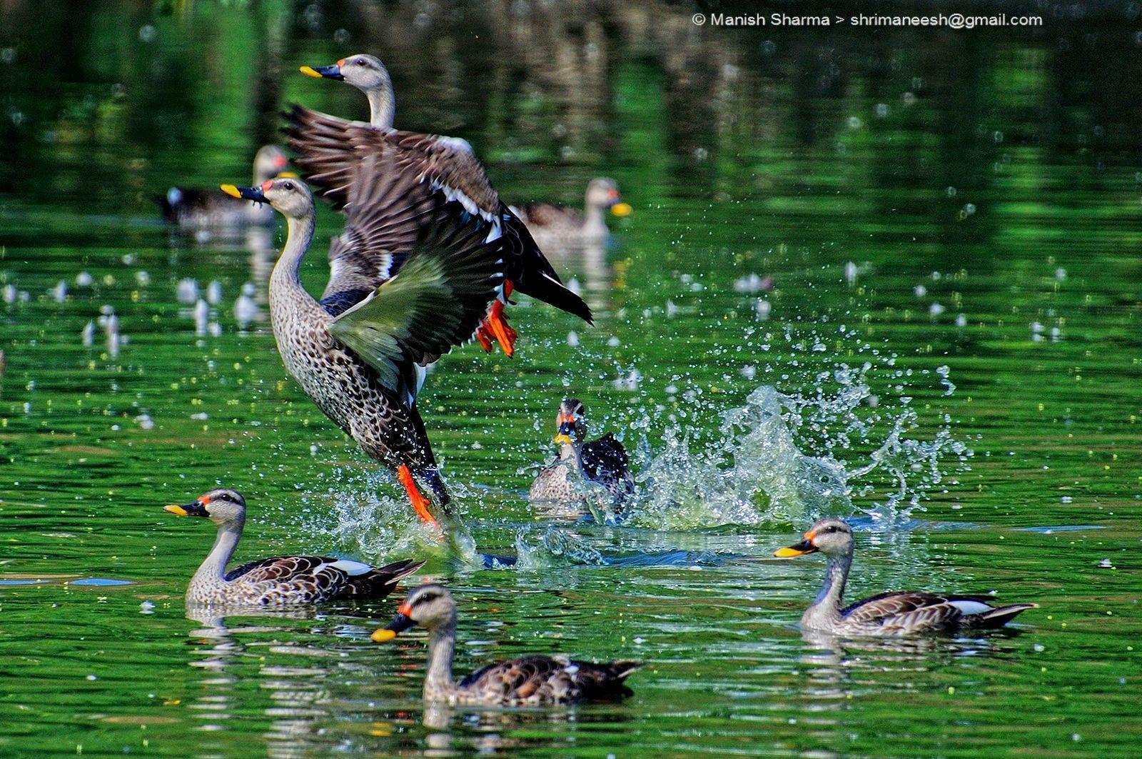 Spot Billed Duck....Scientific name: Anas poecilorhyncha by Maneesh Sharma