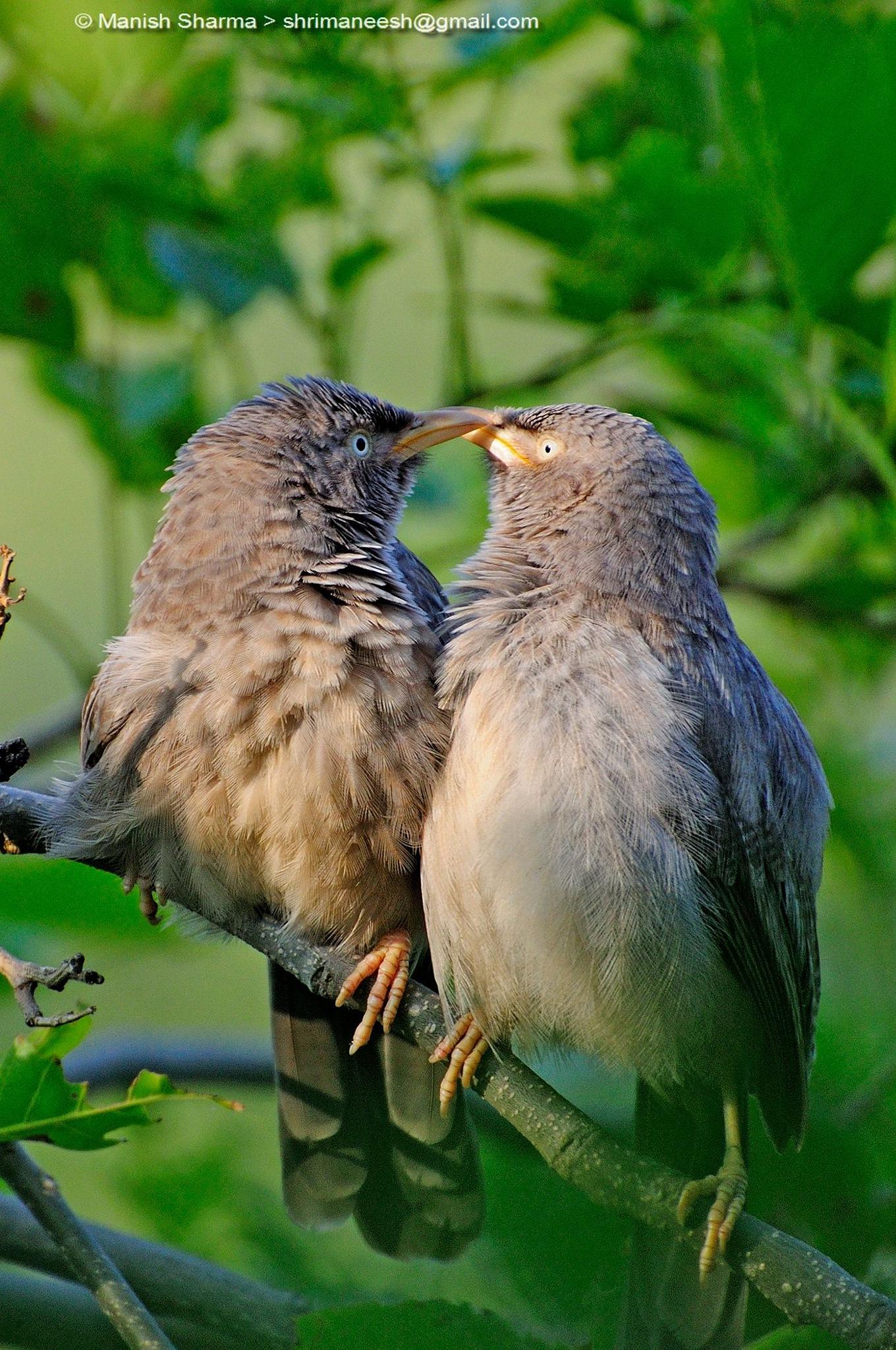 Happy valentine's day,... Jungle Babbler.....Scientific name: Turdoides striata. by Maneesh Sharma