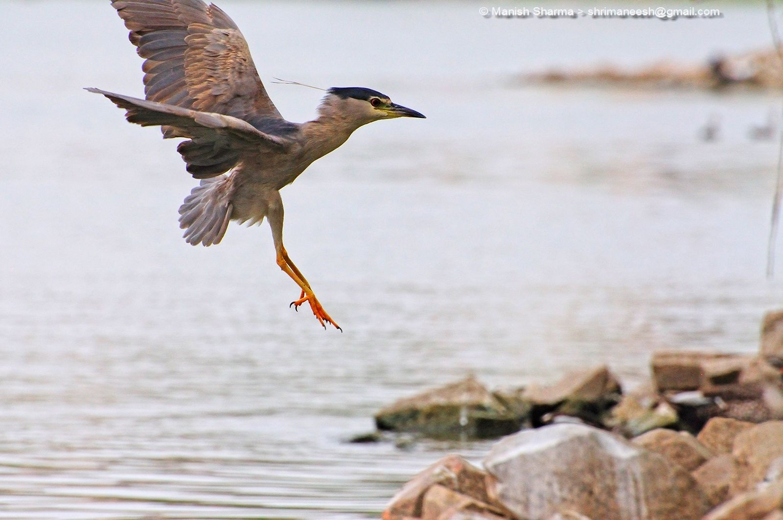 Black crowned night heron while landing...Scientific name: Nycticorax nycticorax by Maneesh Sharma