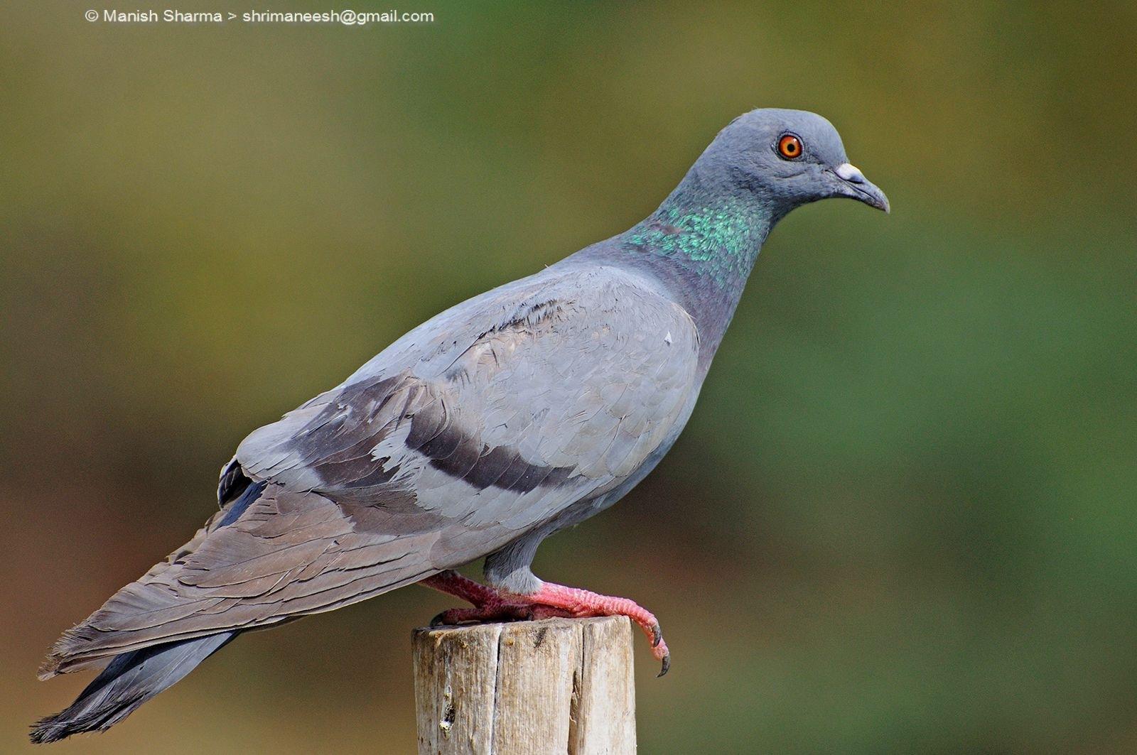 Blue Rock Pigeon …Scientific name: Columba livia by Maneesh Sharma