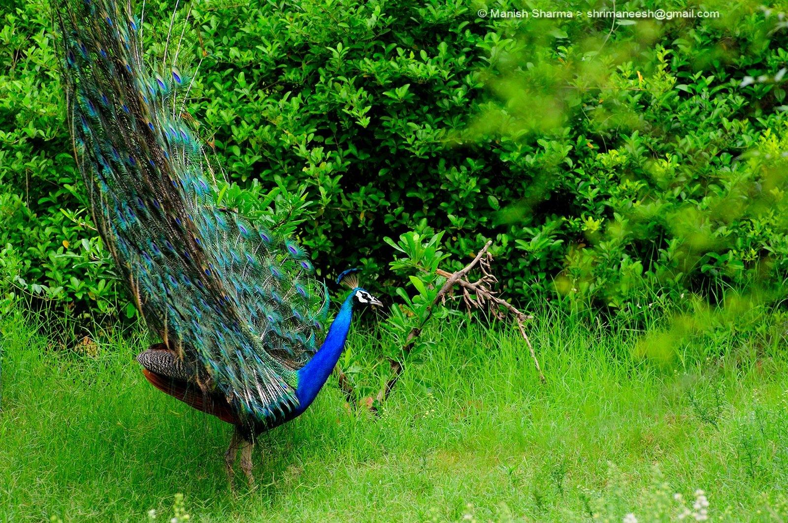 Peacock ...Scientific name: Pavo cristatus by Maneesh Sharma