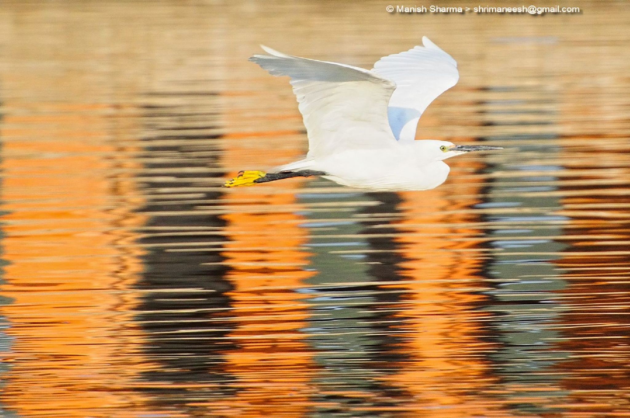 Little Egret... While passing through the golden age of his life by Maneesh Sharma