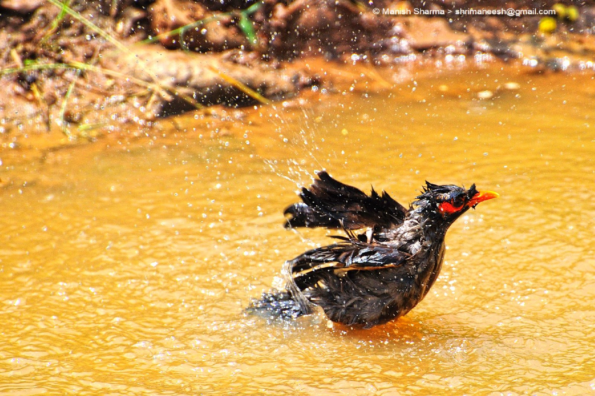 Common Myna while bathing ... Scientific name: Acridotheres tristis by Maneesh Sharma