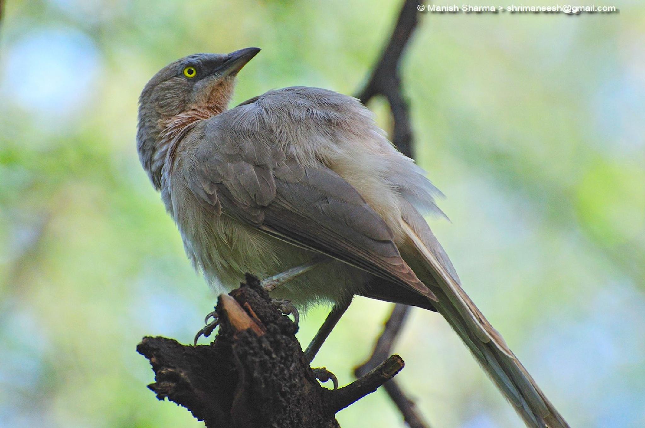 Large grey babbler...Scientific name: Turdoides malcolmi by Maneesh Sharma