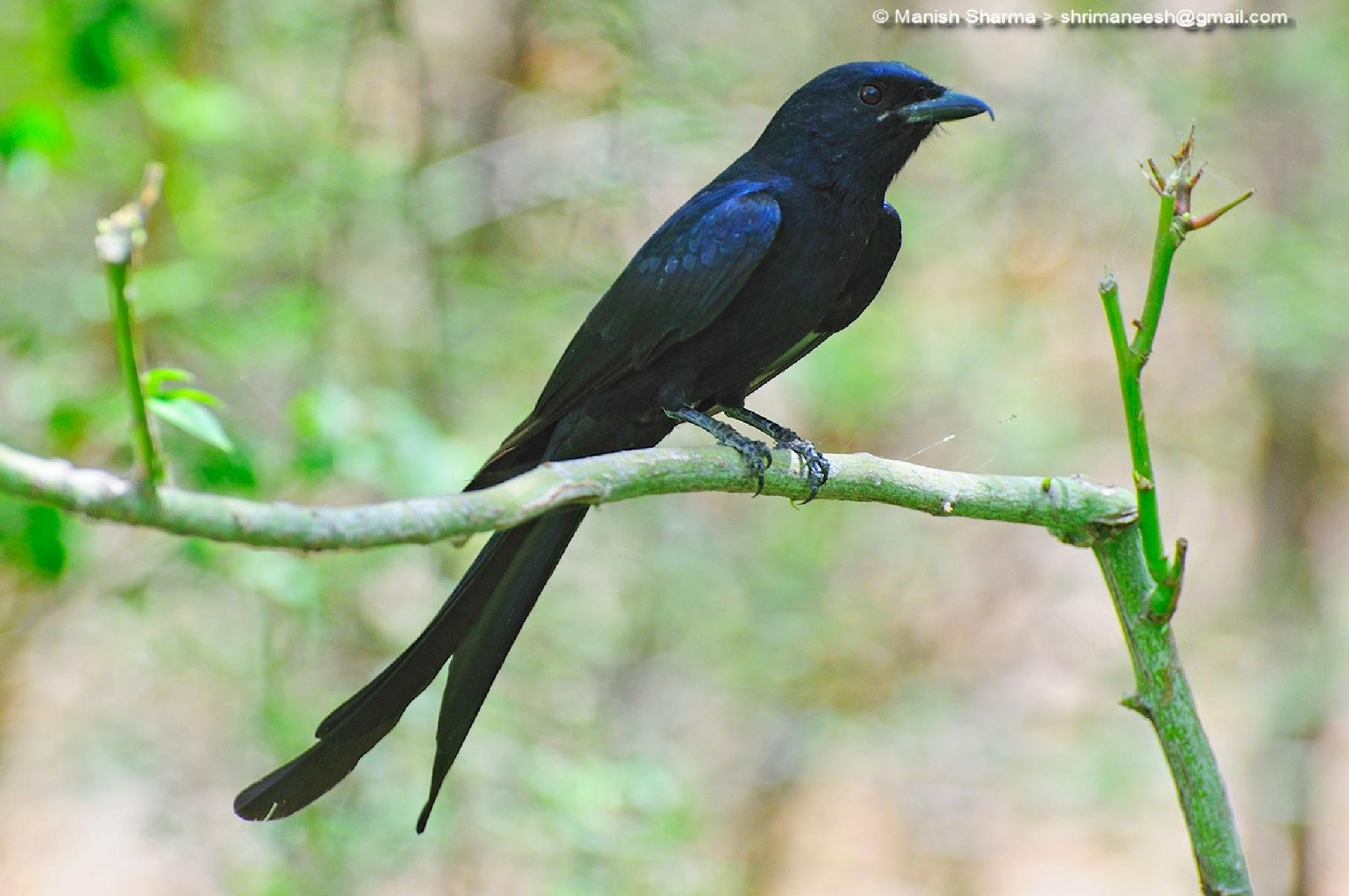 Black drongo....Scientific name: Dicrurus macrocercus by Maneesh Sharma