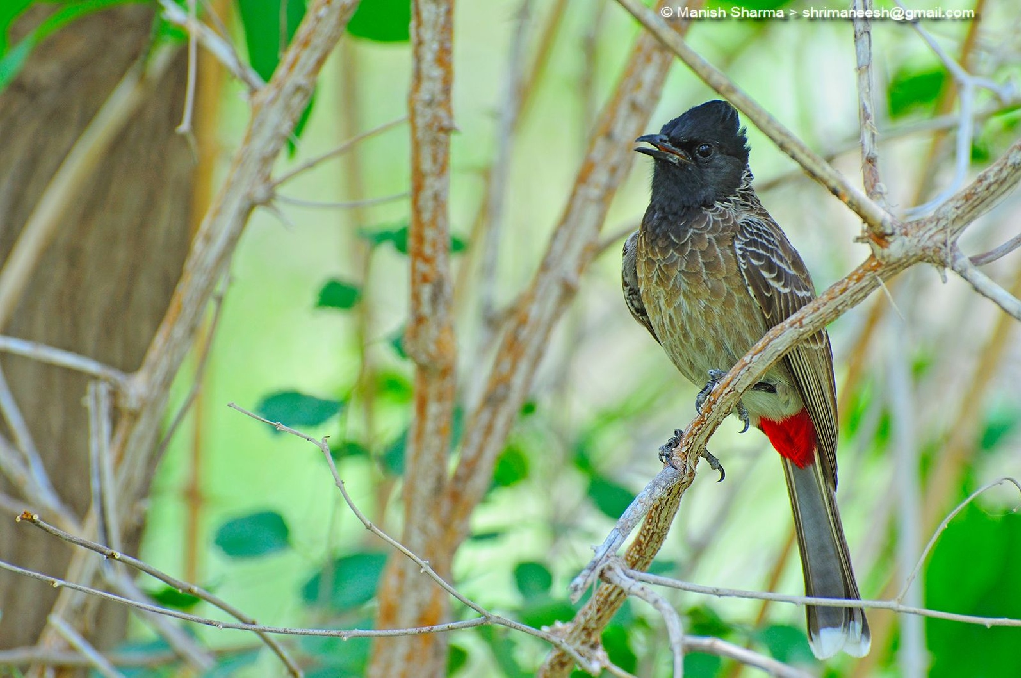 Red Vented Bulbul...Scientific name: Pycnonotus cafer by Maneesh Sharma