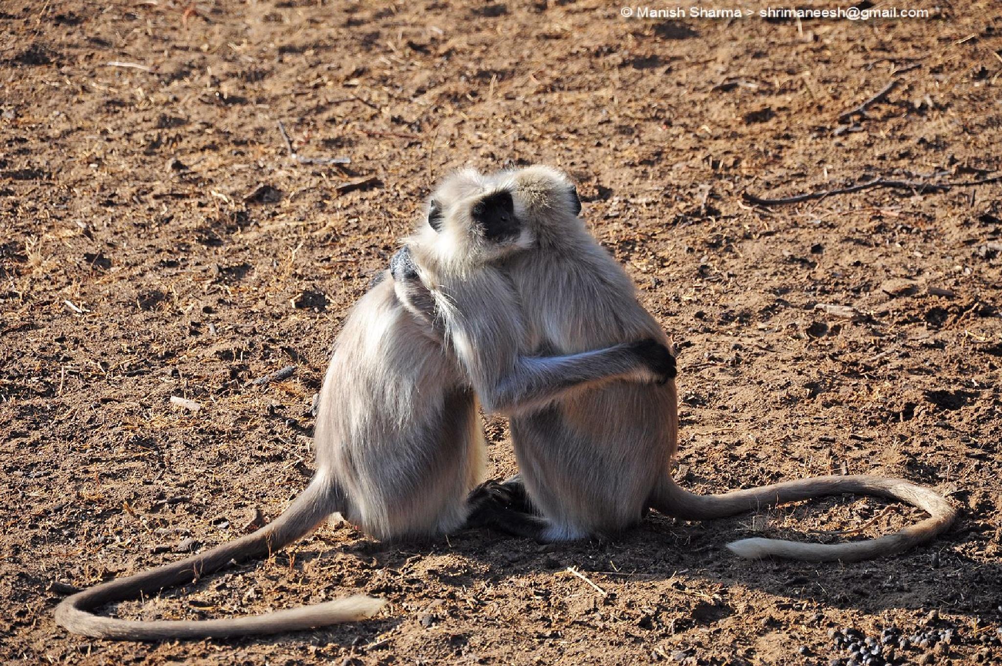 Langur...A hug of love and friendship...Happy Valentines Day by Maneesh Sharma