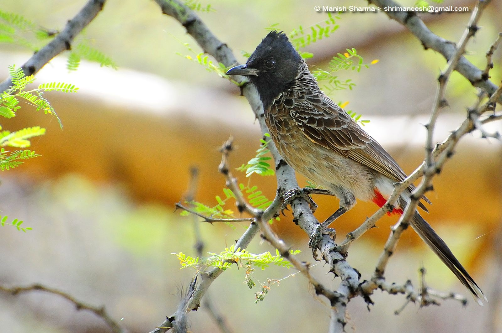 Photo in Nature #red vented bulbul #nature #wild #birds #animal