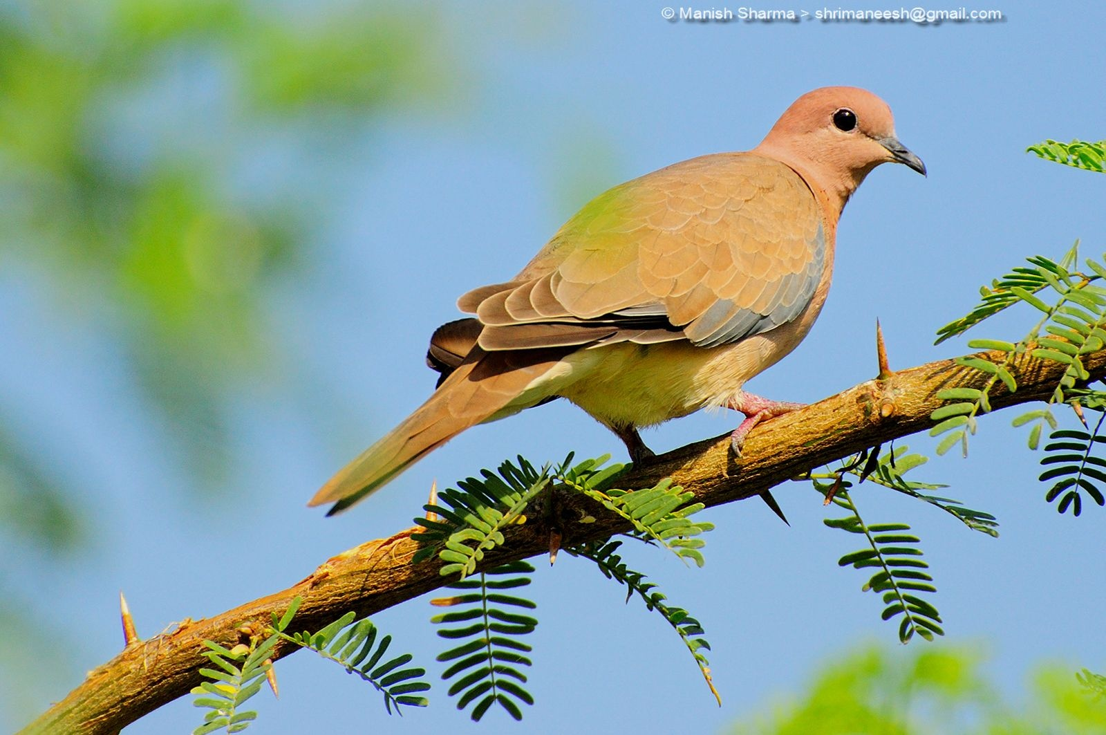Laughing dove....Scientific name: Streptopelia senegalensis by Maneesh Sharma