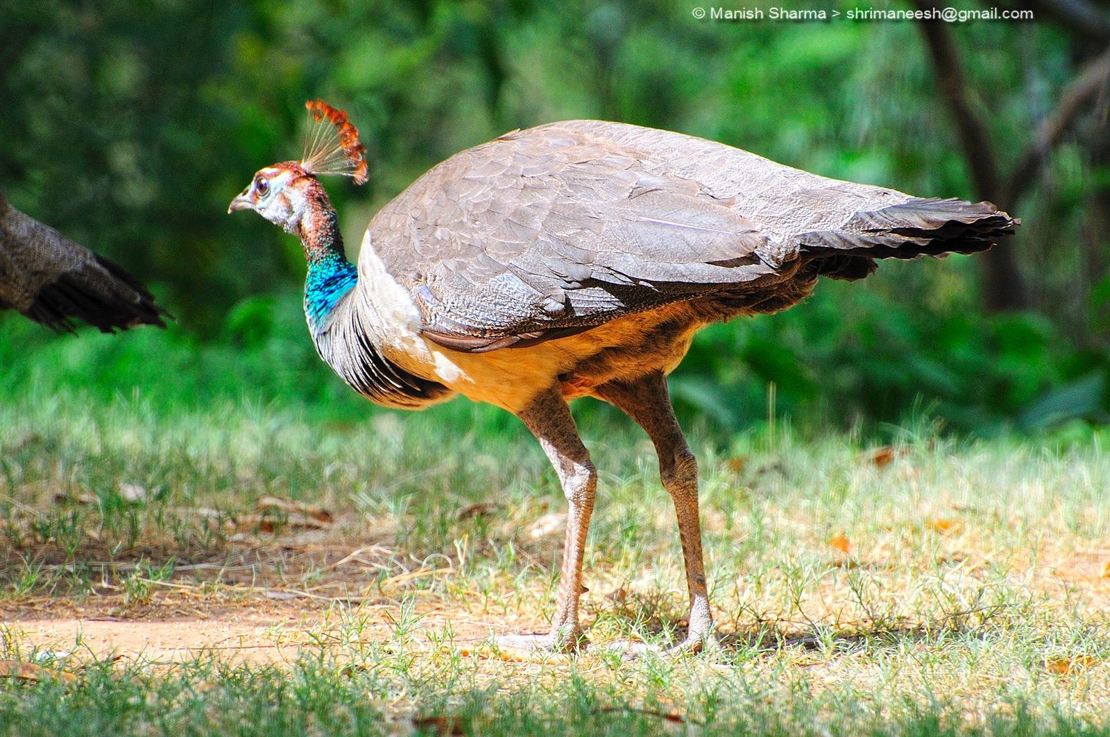 Indian Peahen...Scientific name: Pavo cristatus by Maneesh Sharma