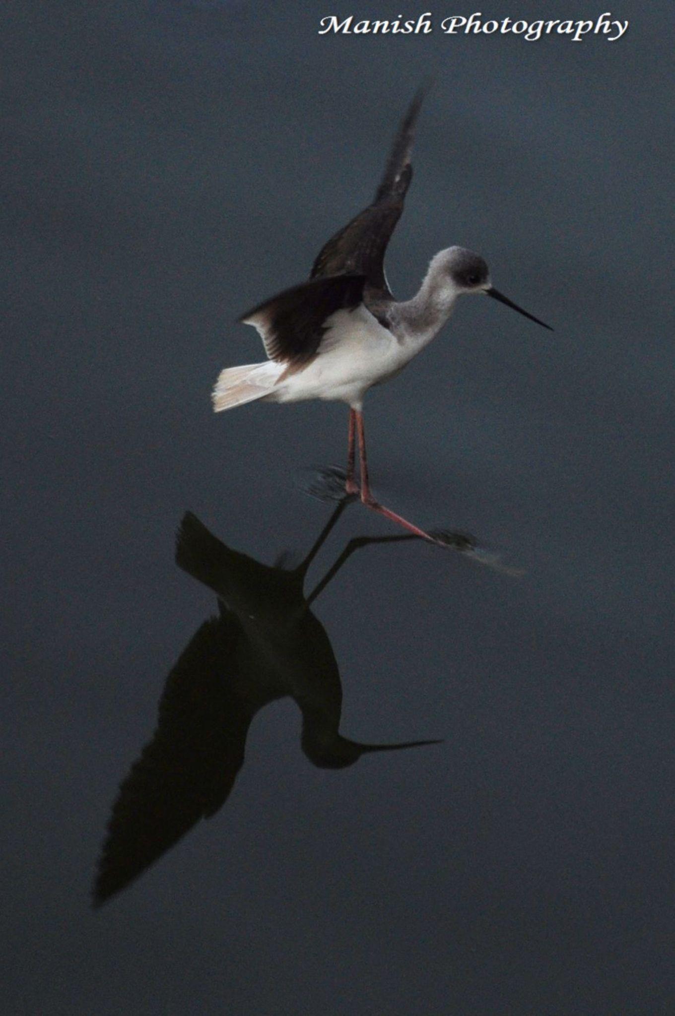 Black Winged Stilts in landing gear by Maneesh Sharma