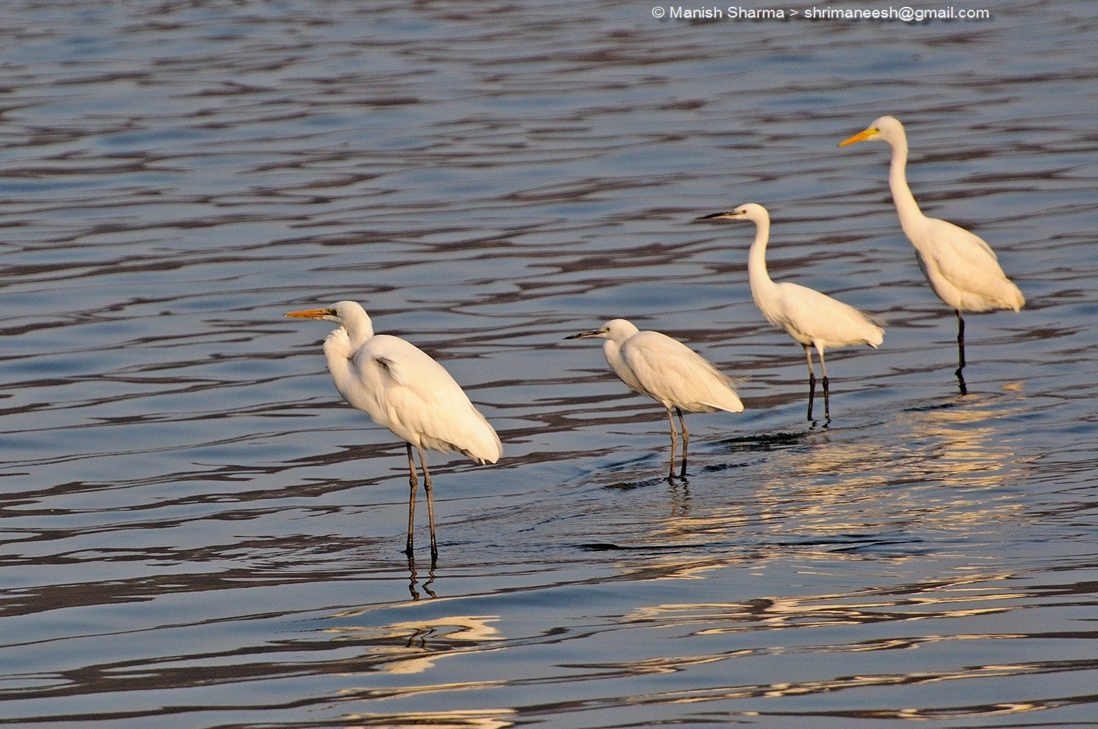 Great and Little Egrets in a row by Maneesh Sharma