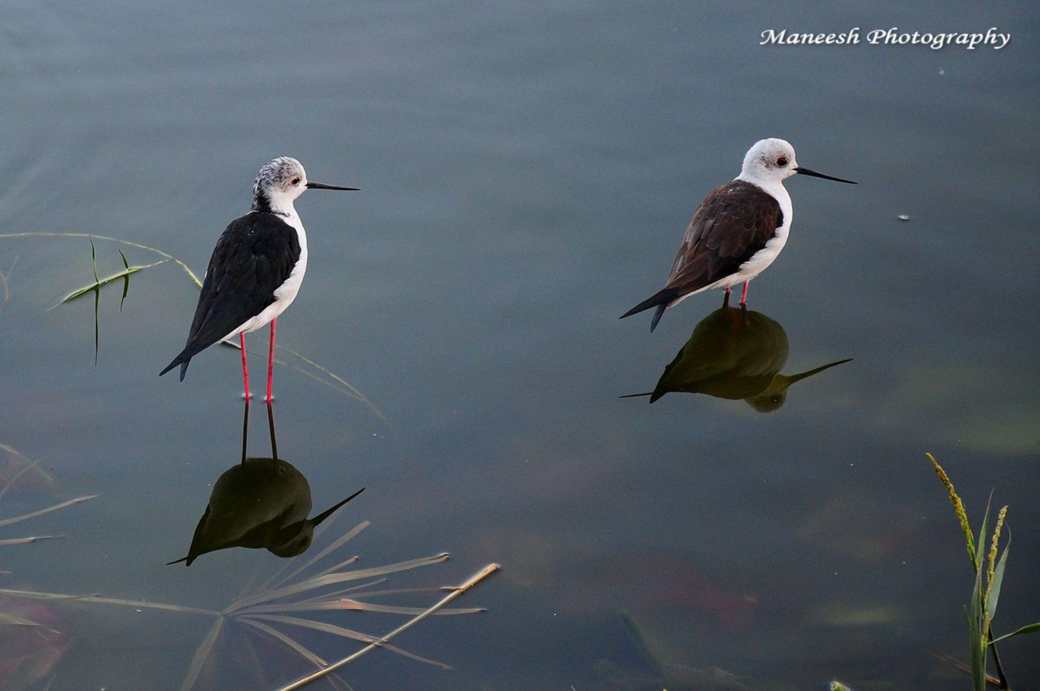 Black Winged Stilts reflect in static water of Man Sagar Lake Jaipur  by Maneesh Sharma
