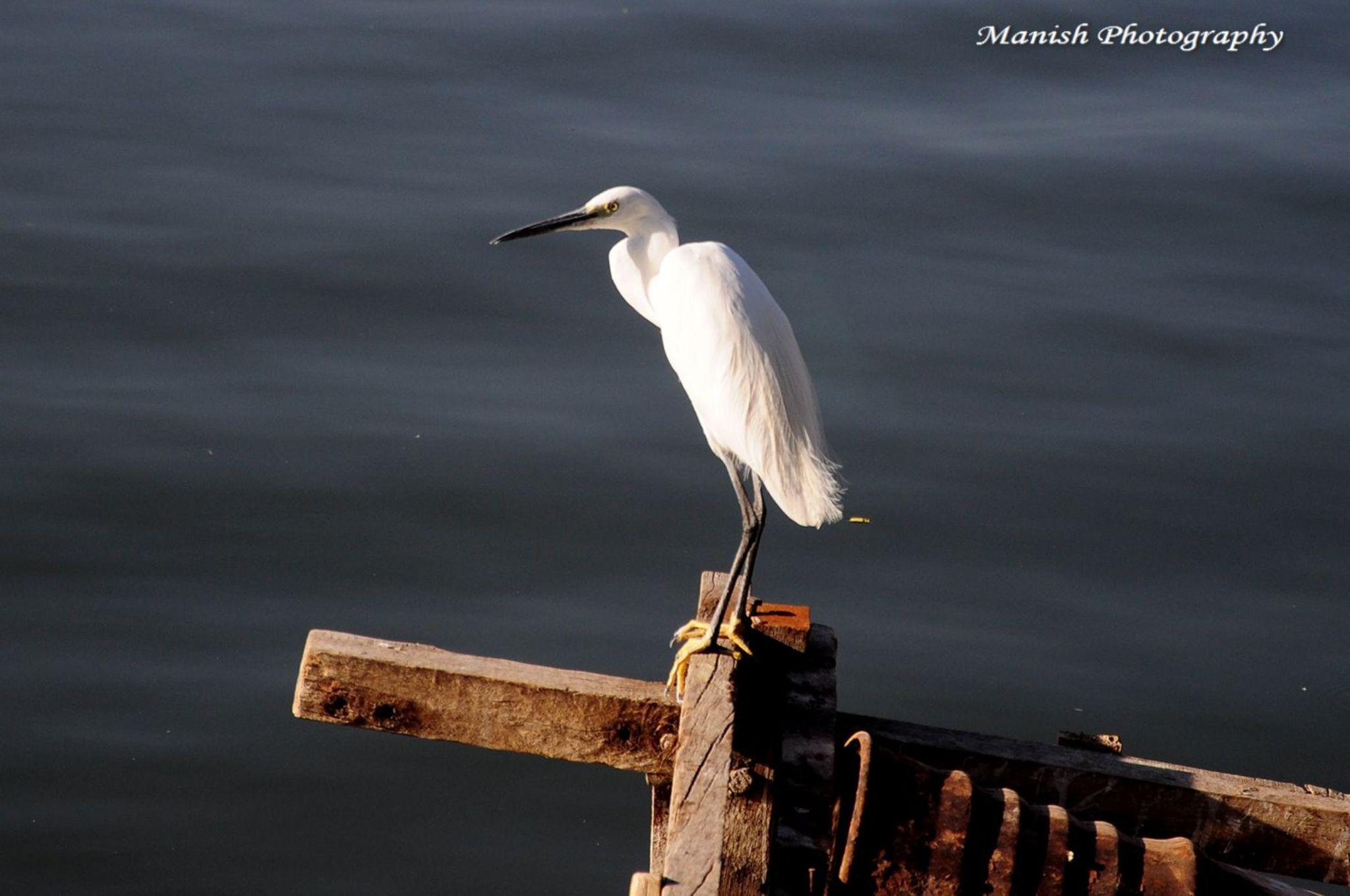 Great egret by Maneesh Sharma