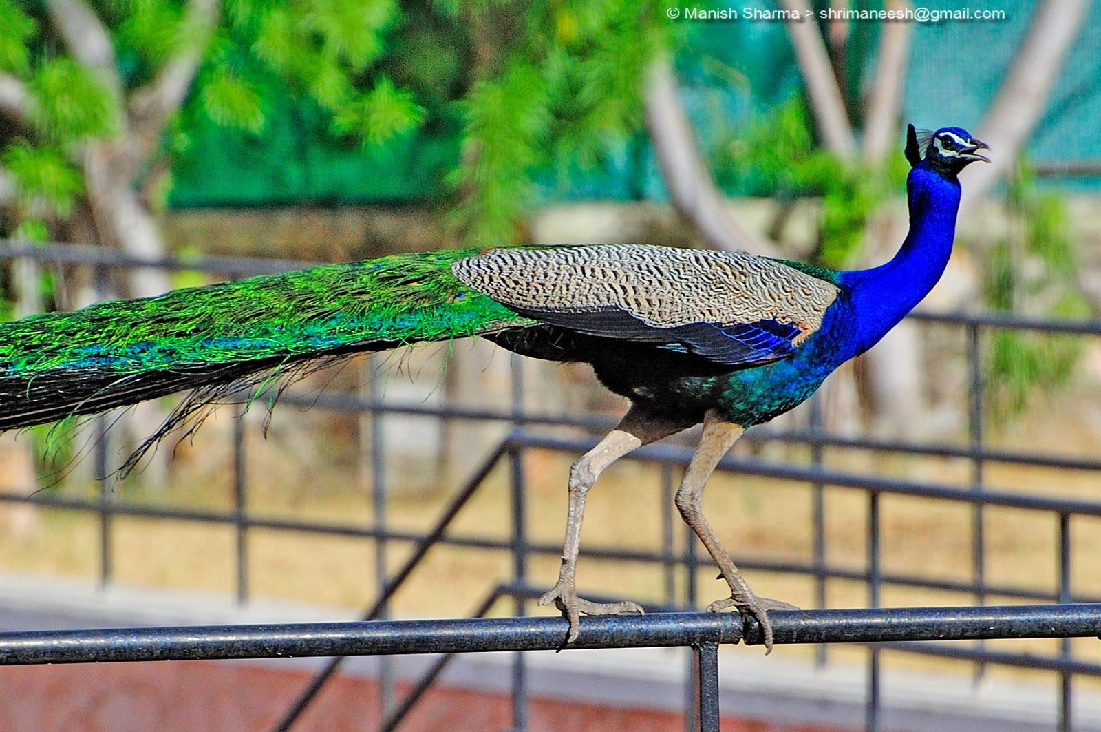 Peacock while aerial walk...Scientific name: Pavo cristatus ,, the national bird of India by Maneesh Sharma