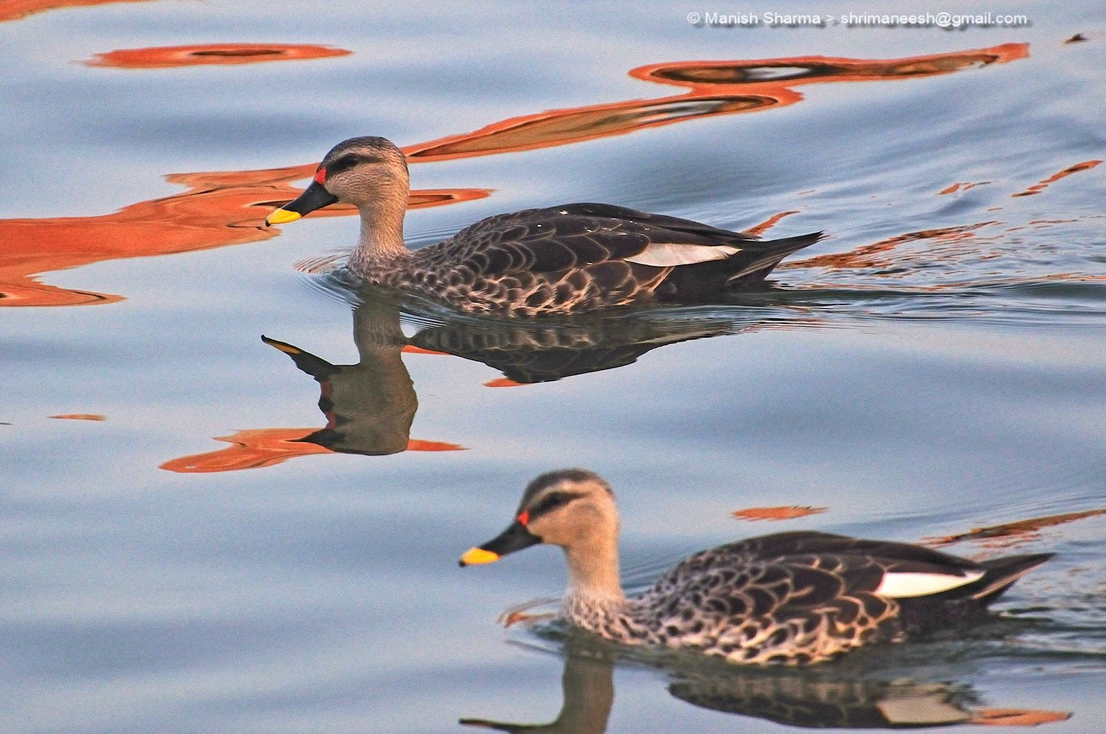 Spot Billed Duck....Scientific name: Anas poecilorhyncha by Maneesh Sharma