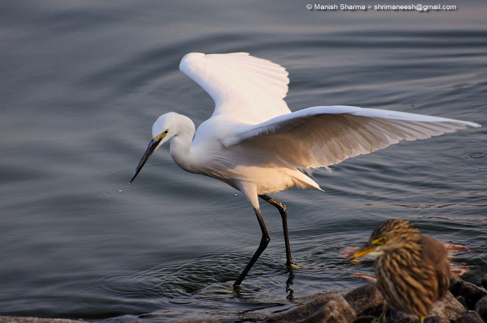 Little Egret...Scientific name: Egretta garzetta by Maneesh Sharma
