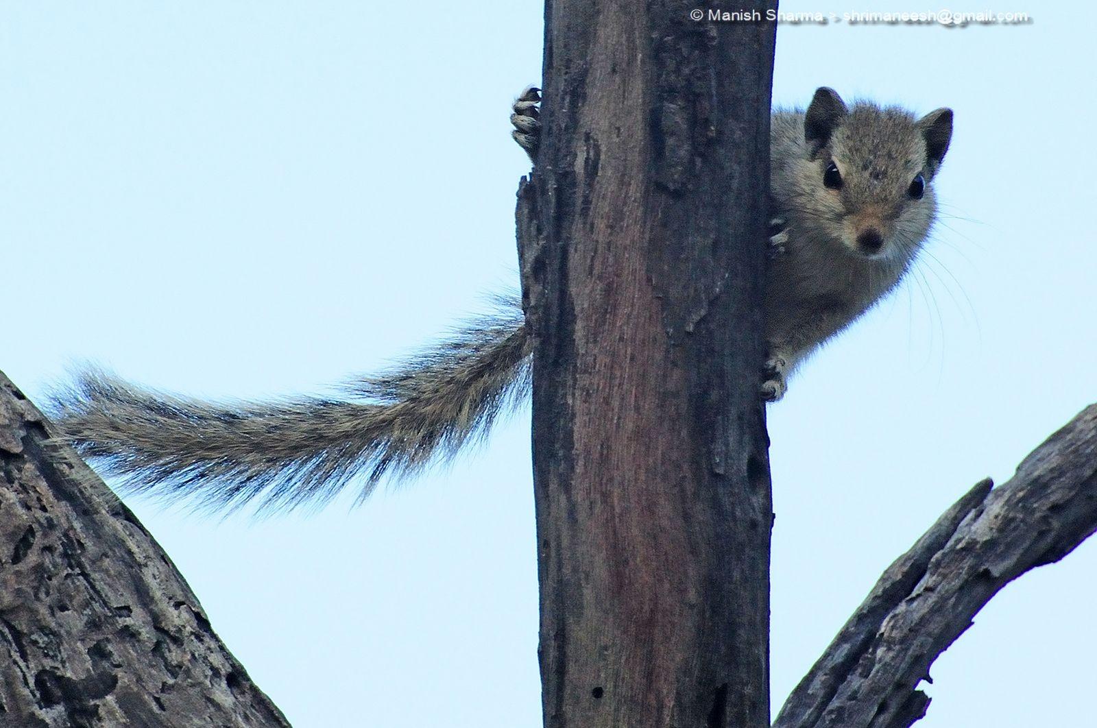 Indian Palm Squirrel...Scientific name: Funambulus palmarum  by Maneesh Sharma