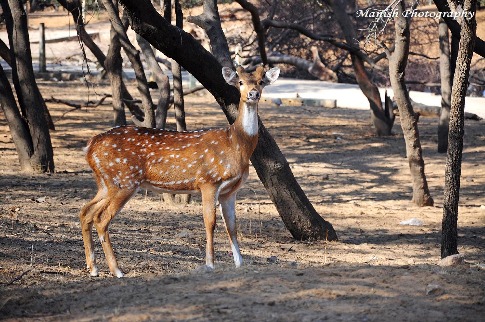 Deer in Jhalana Forest Jaipur, India  by Maneesh Sharma
