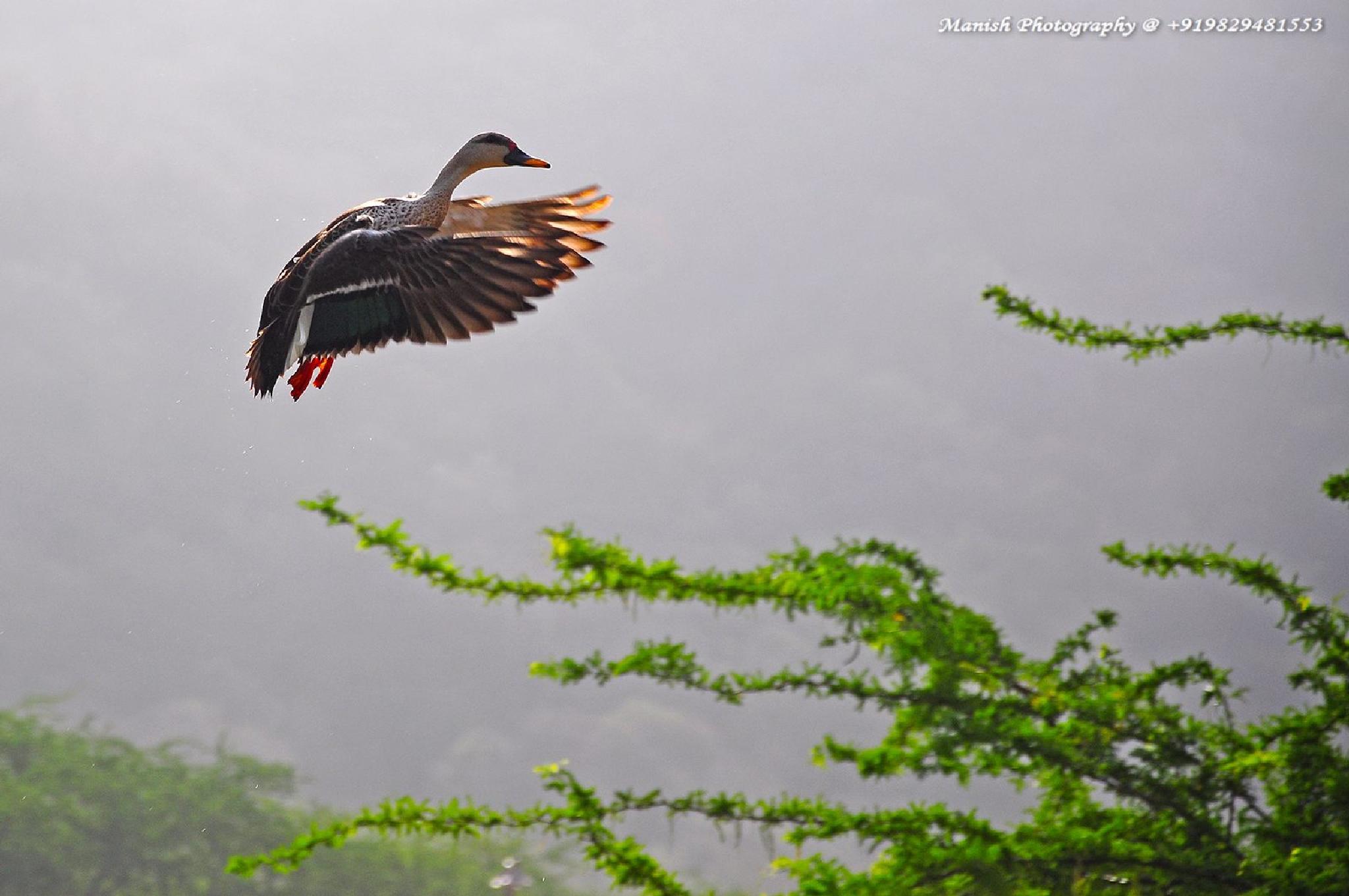 Spot Billed Duck in Landing Gear by Maneesh Sharma
