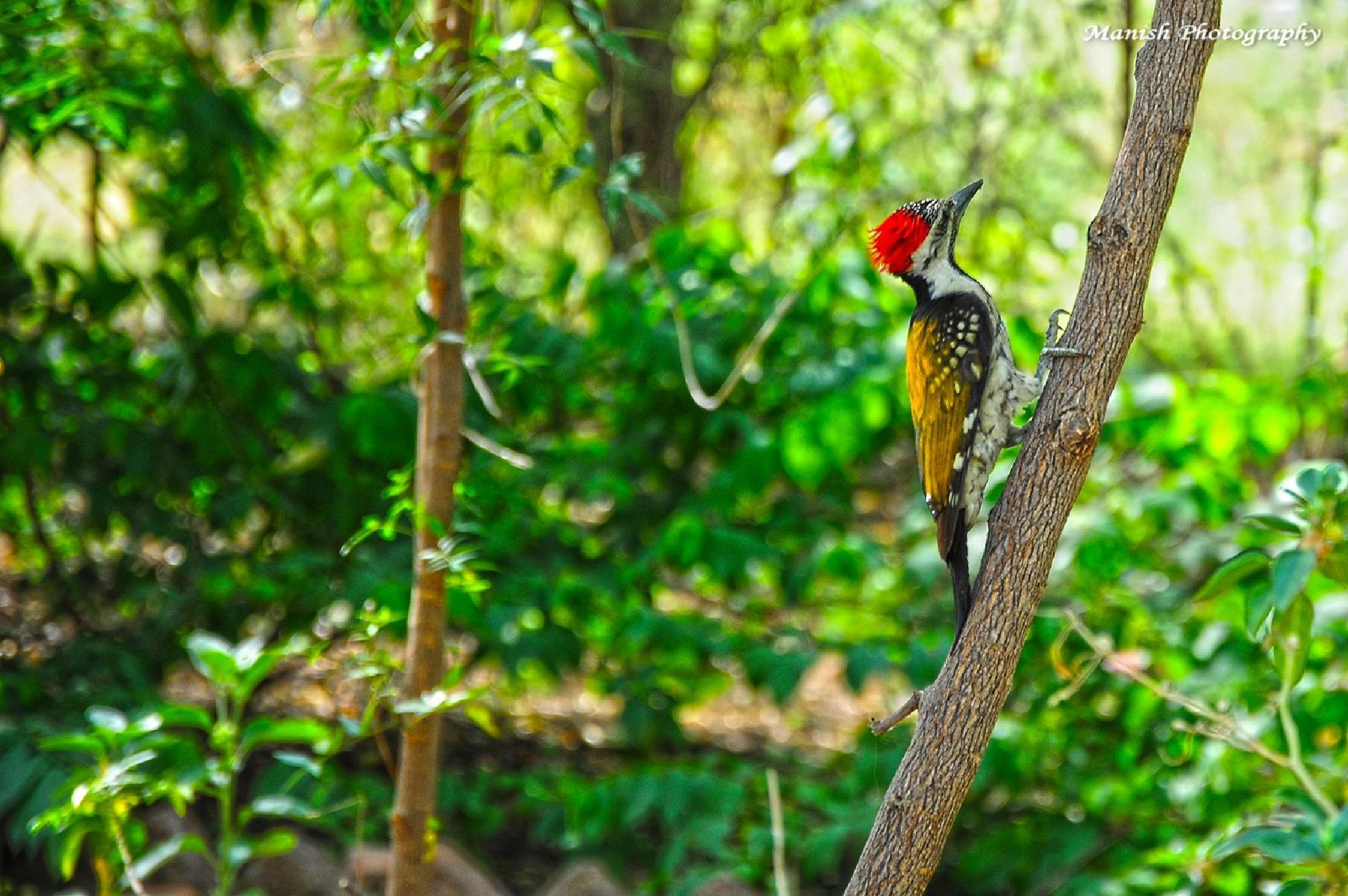 Lesser Golden-backed Woodpecker by Maneesh Sharma
