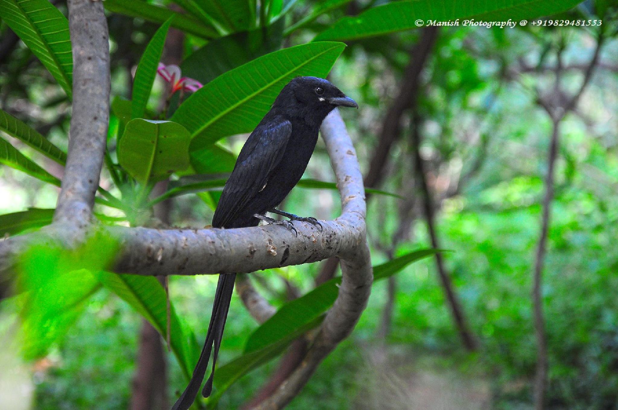 Black Drongo by Maneesh Sharma