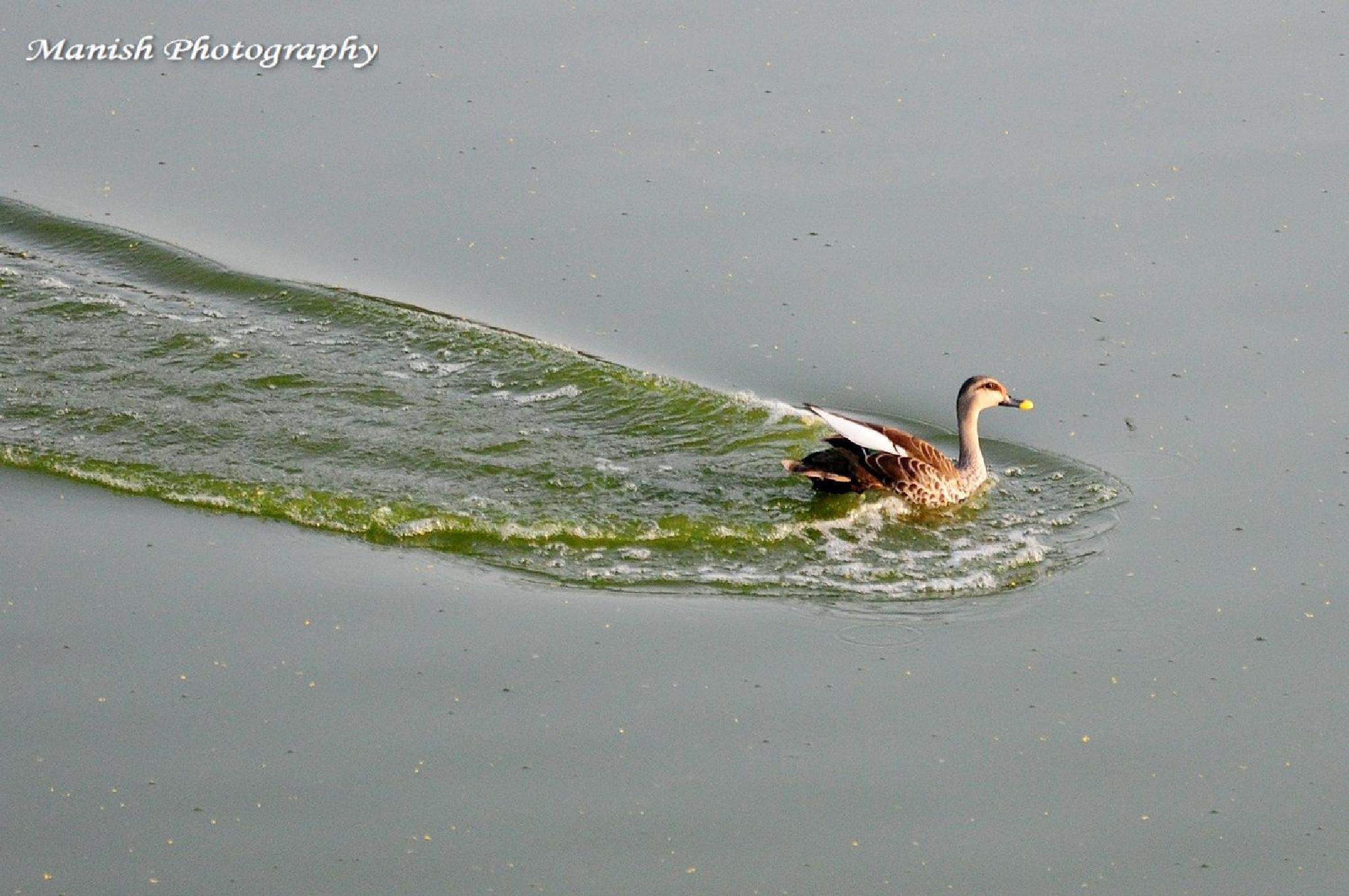 Spot Billed Duck using emergency break by Maneesh Sharma