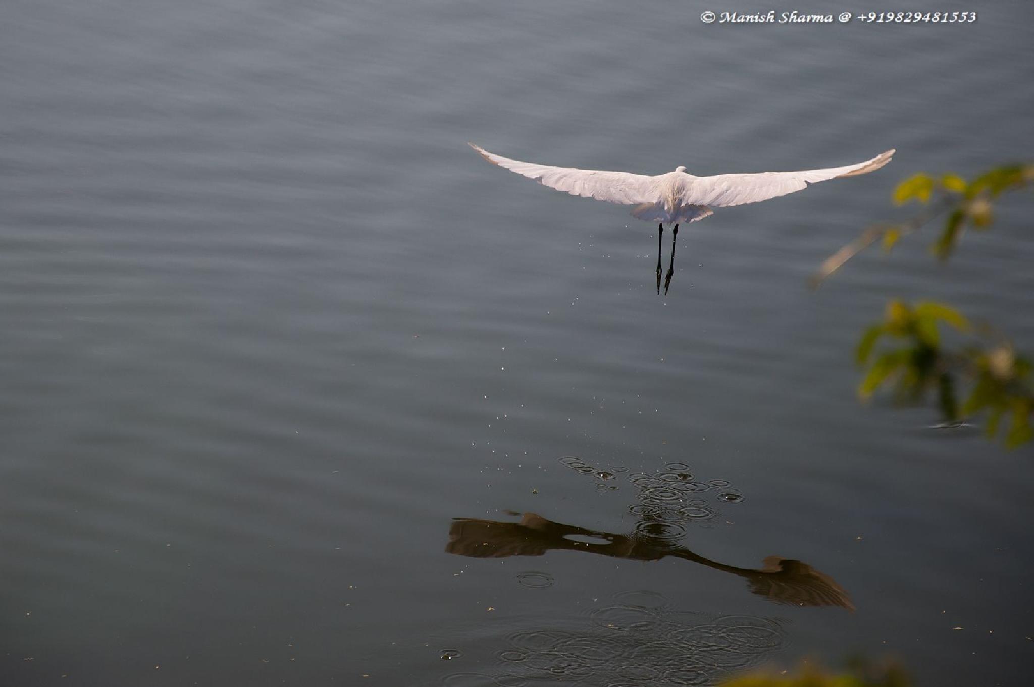 Little Egret by Maneesh Sharma
