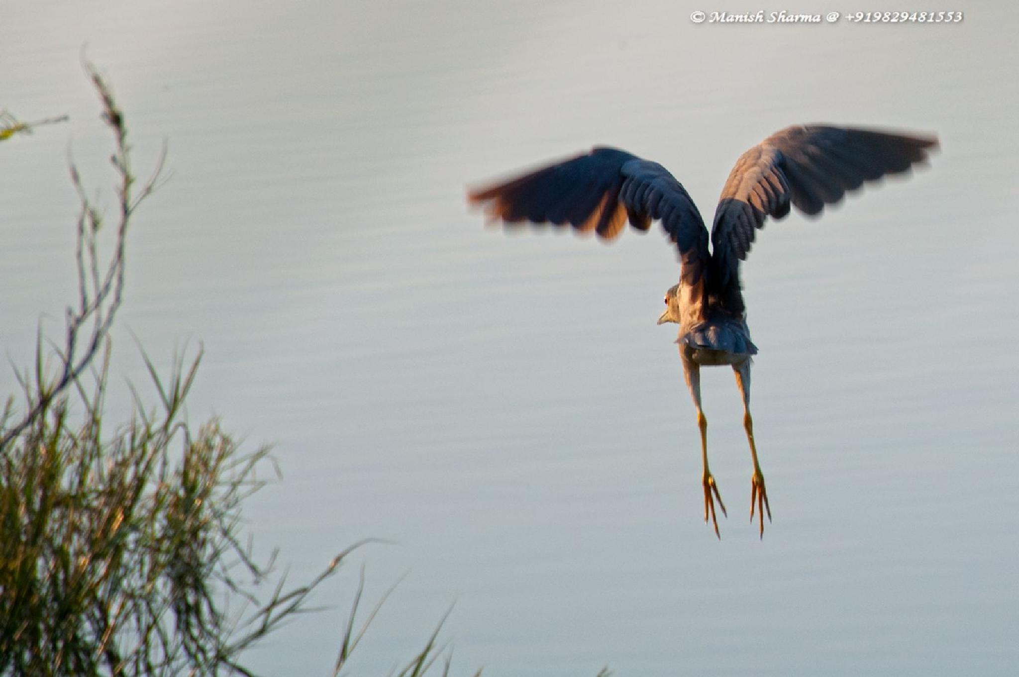 Pond heron.... by Maneesh Sharma