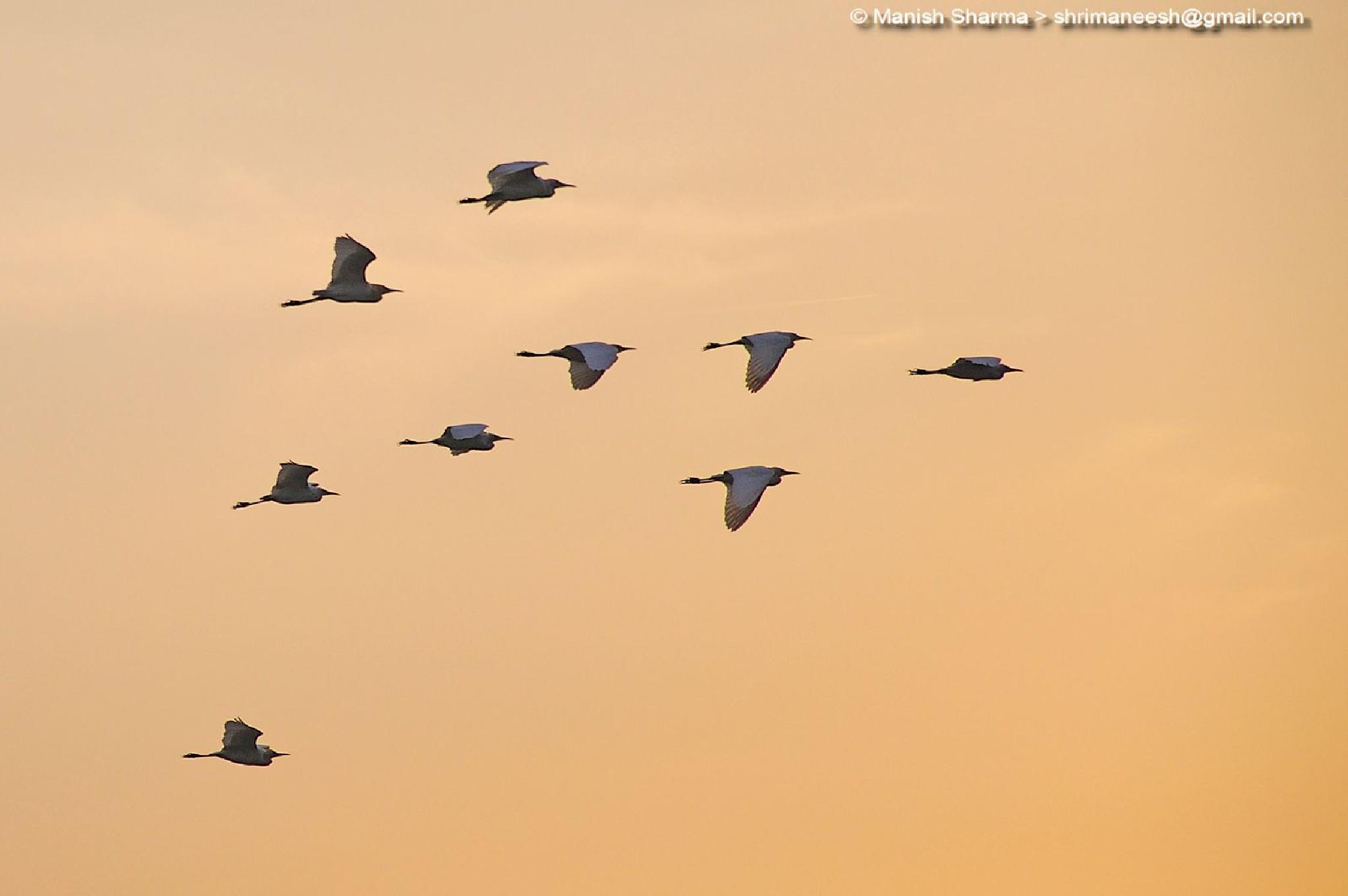 Cattle Egrets by Maneesh Sharma