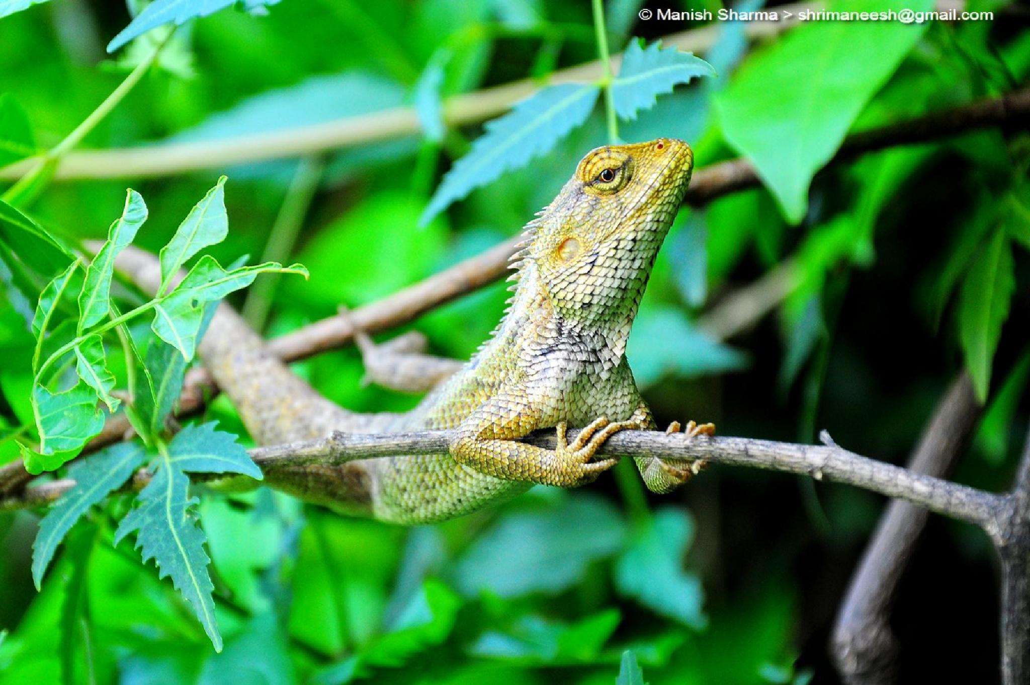 Oriental Garden Lizard by Maneesh Sharma