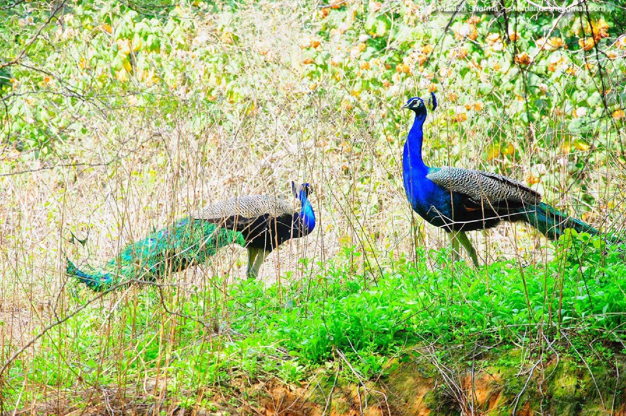 Peacock ..the Meeting of hearts by Maneesh Sharma