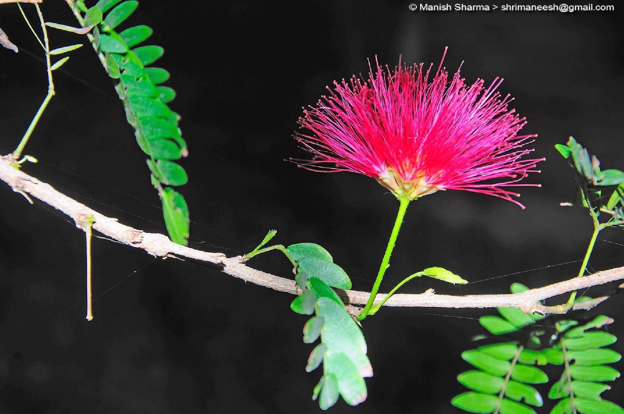 खिलते हैं गुल यहाँ........ Flowers blooms here ....in pink city Jaipur, India  by Maneesh Sharma