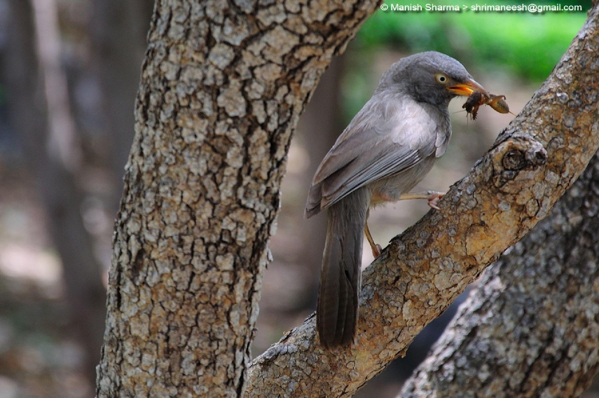 Jungle Babbler.....Scientific name: Turdoides striata. by Maneesh Sharma
