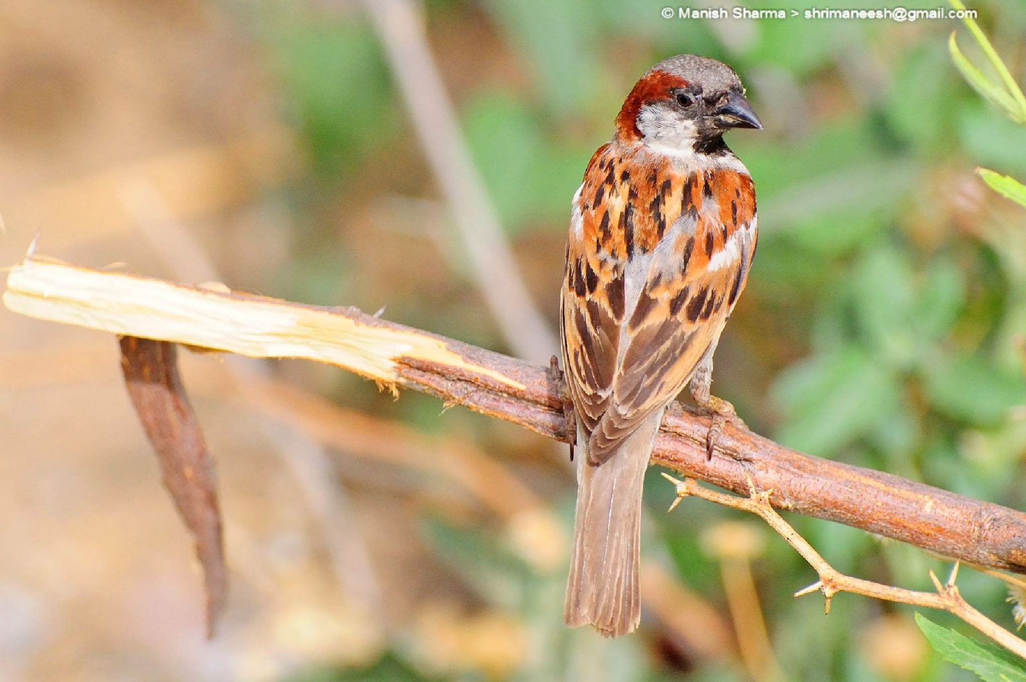 House sparrow male....Scientific name: Passer domesticus by Maneesh Sharma