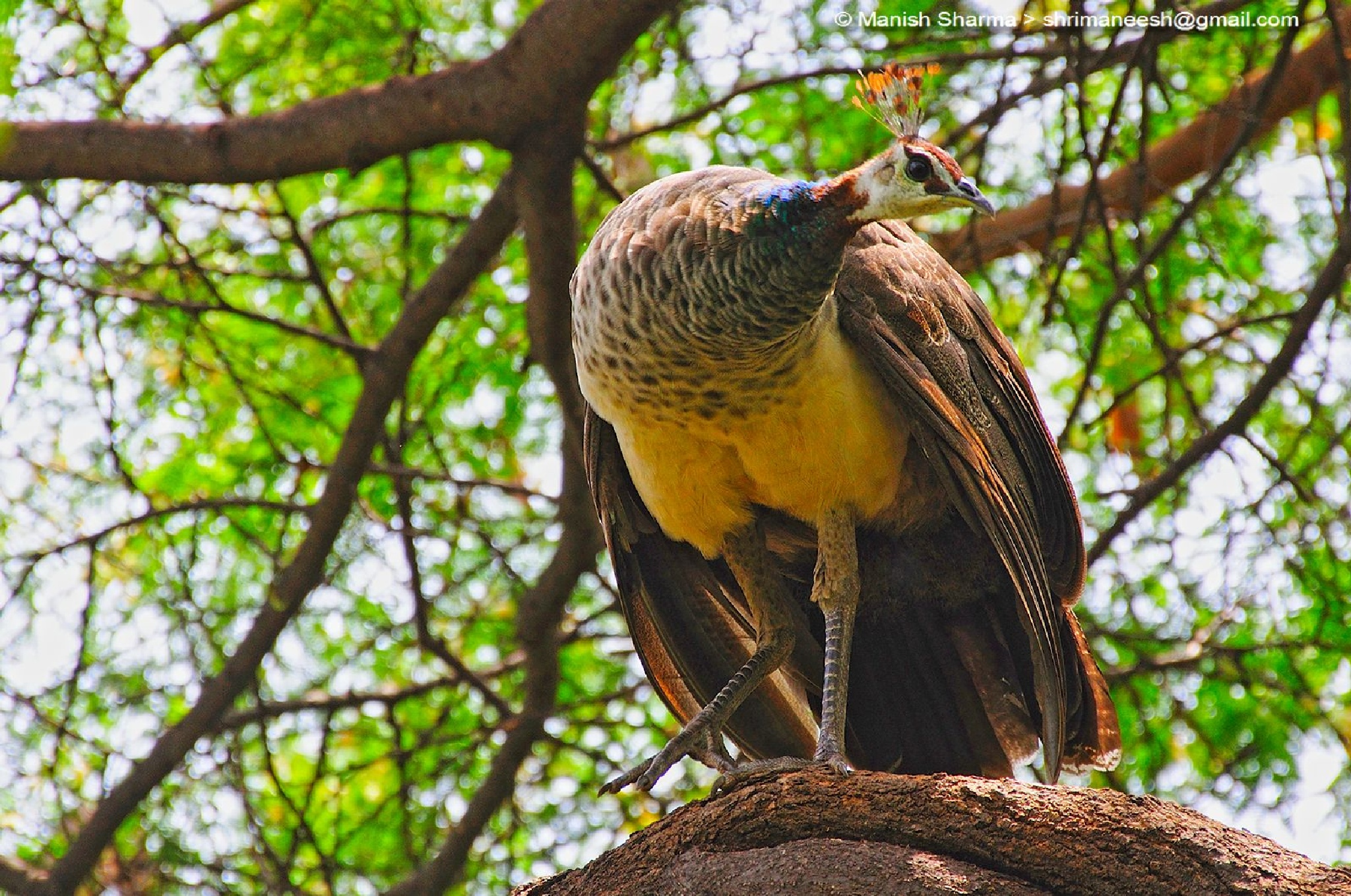 Indian Peahen by Maneesh Sharma