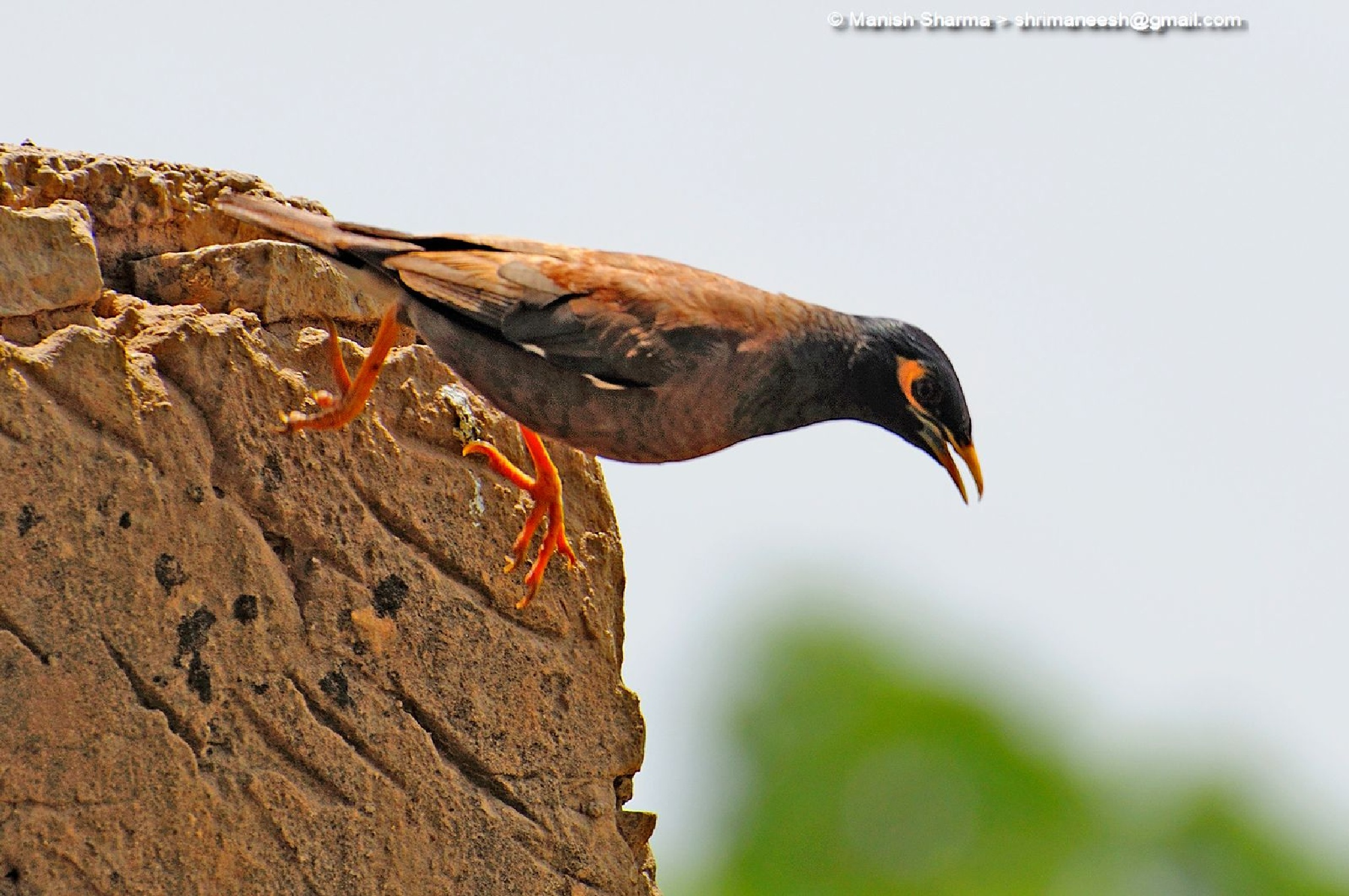 Common Myna... Scientific name: Acridotheres tristis by Maneesh Sharma
